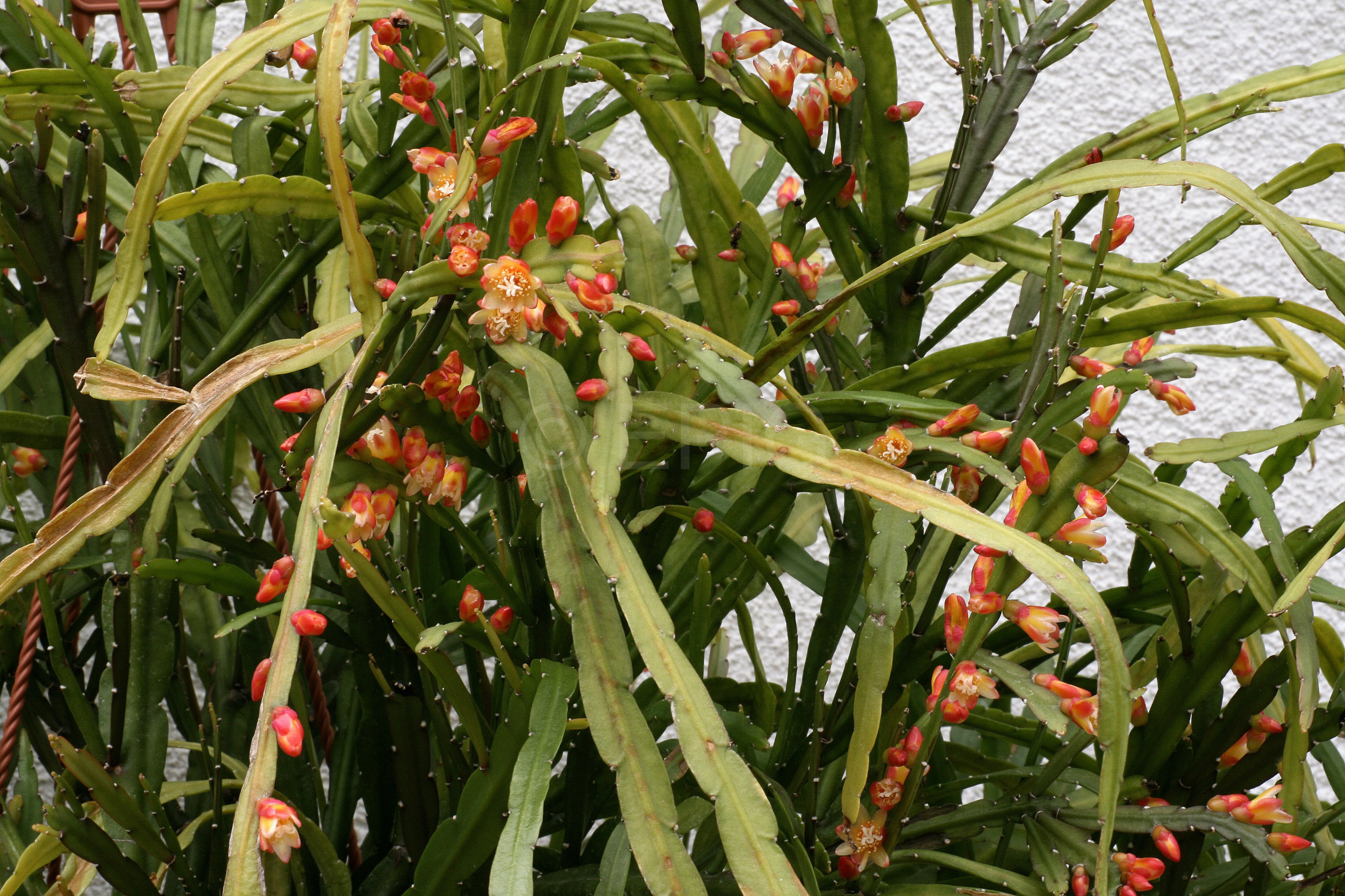 Pfeiffera boliviana HBG52994 (Foto Jochen Bockemühl)