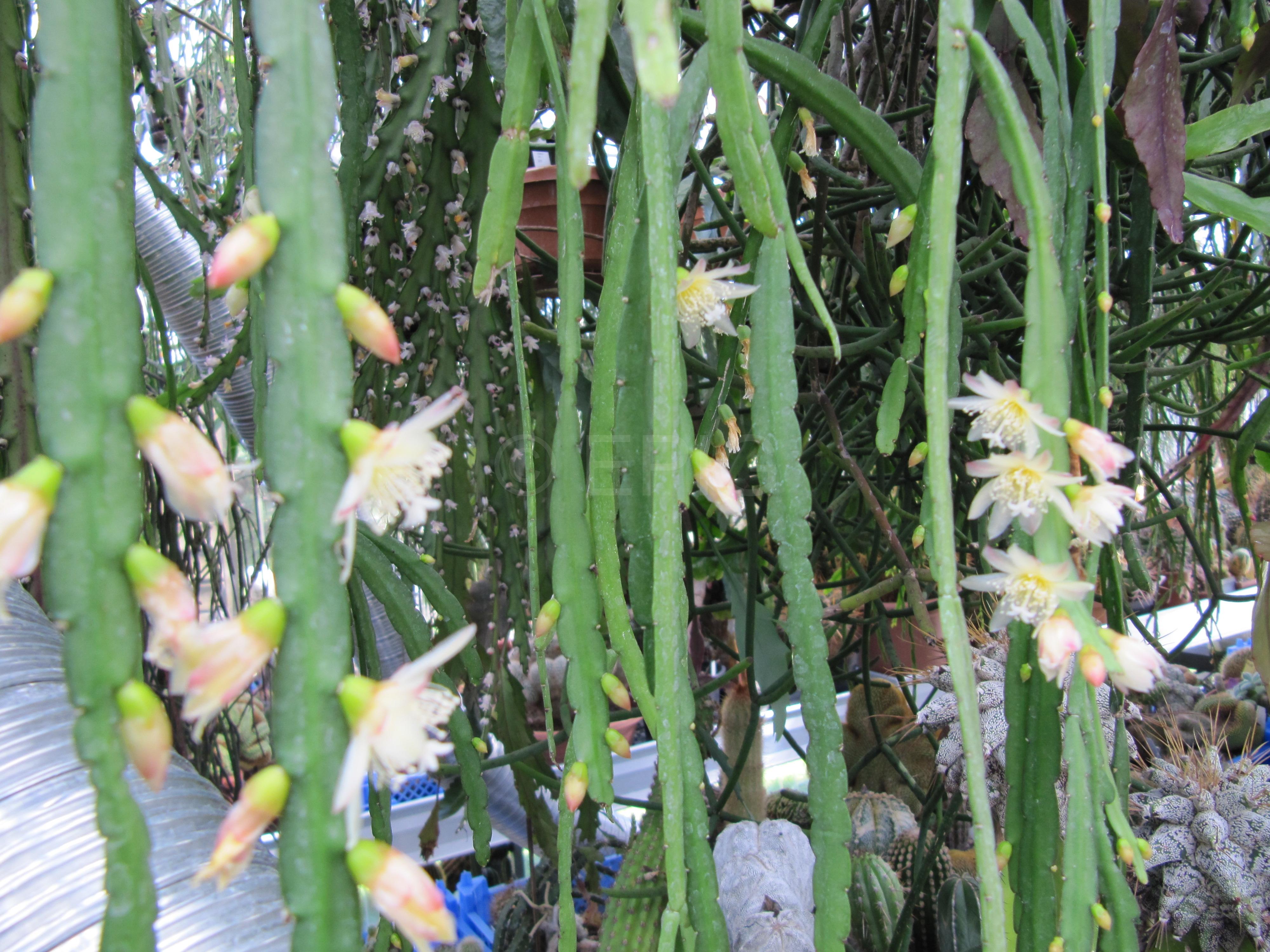 Pfeiffera boliviana (weiß) (Foto Horst Kündiger)