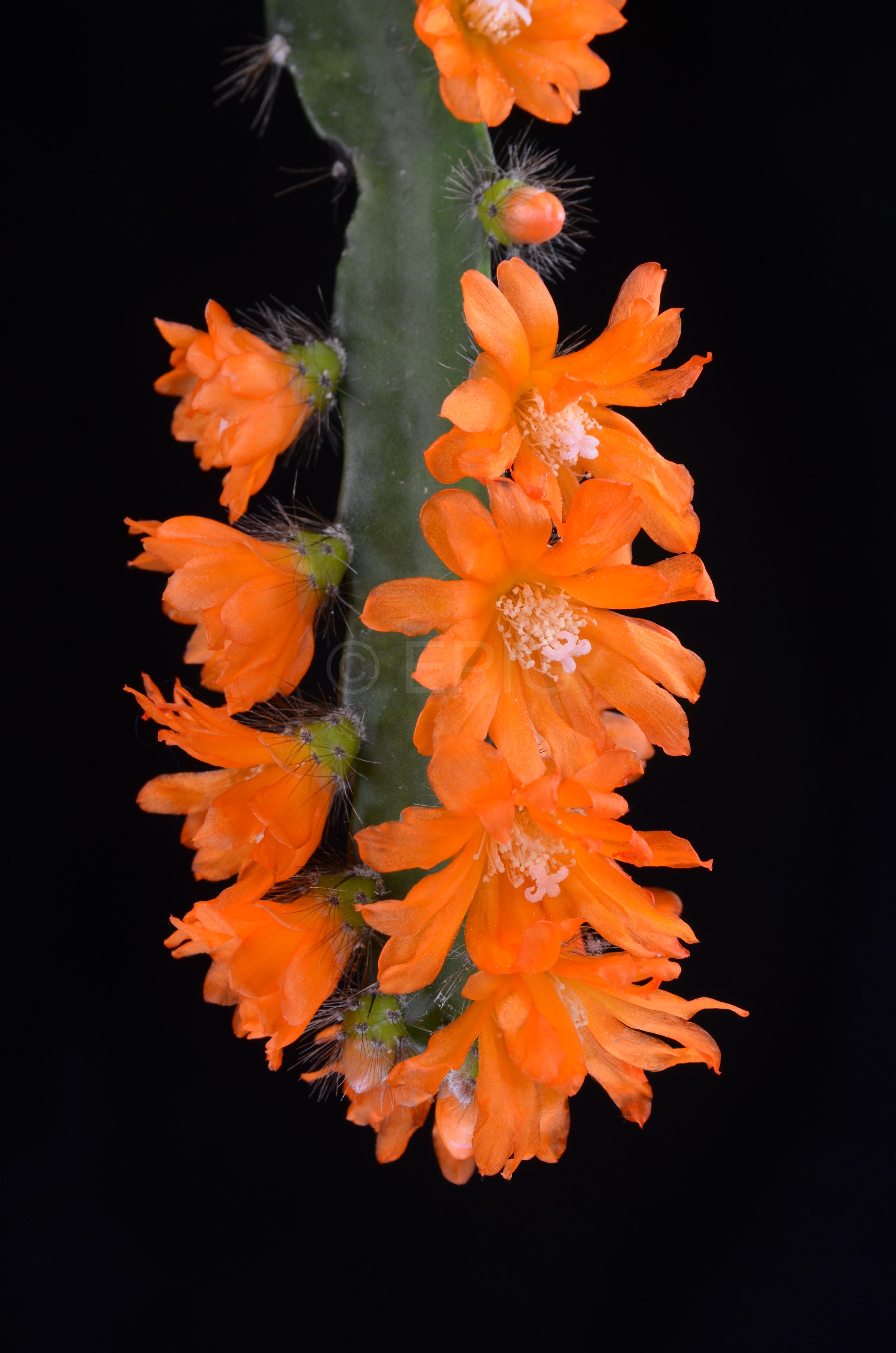 Pfeiffera miyagawae ISI 98-1 (Foto Andreas Hofacker)