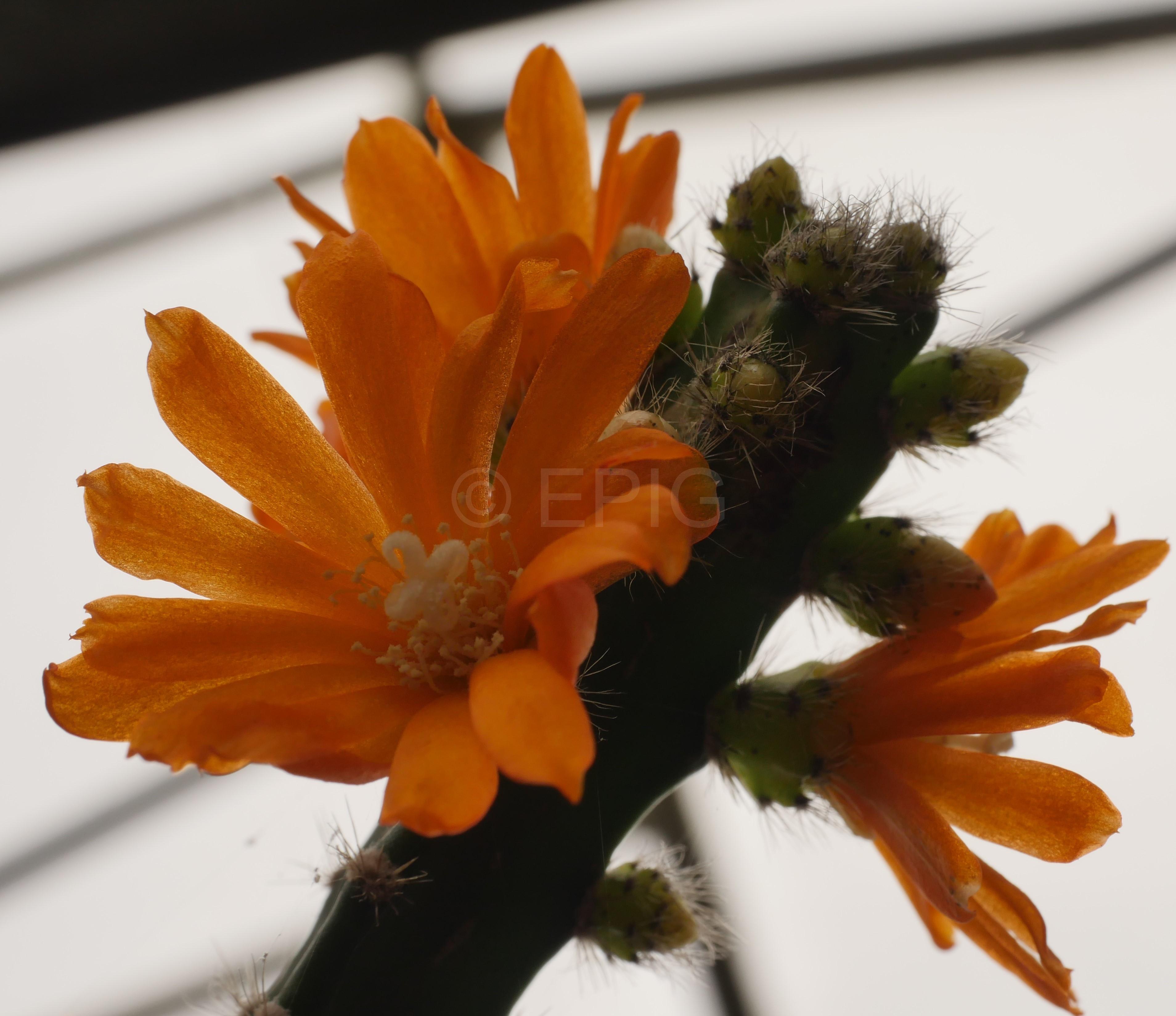 Pfeiffera miyagawae (Typklon) (Foto Ruud Tropper)