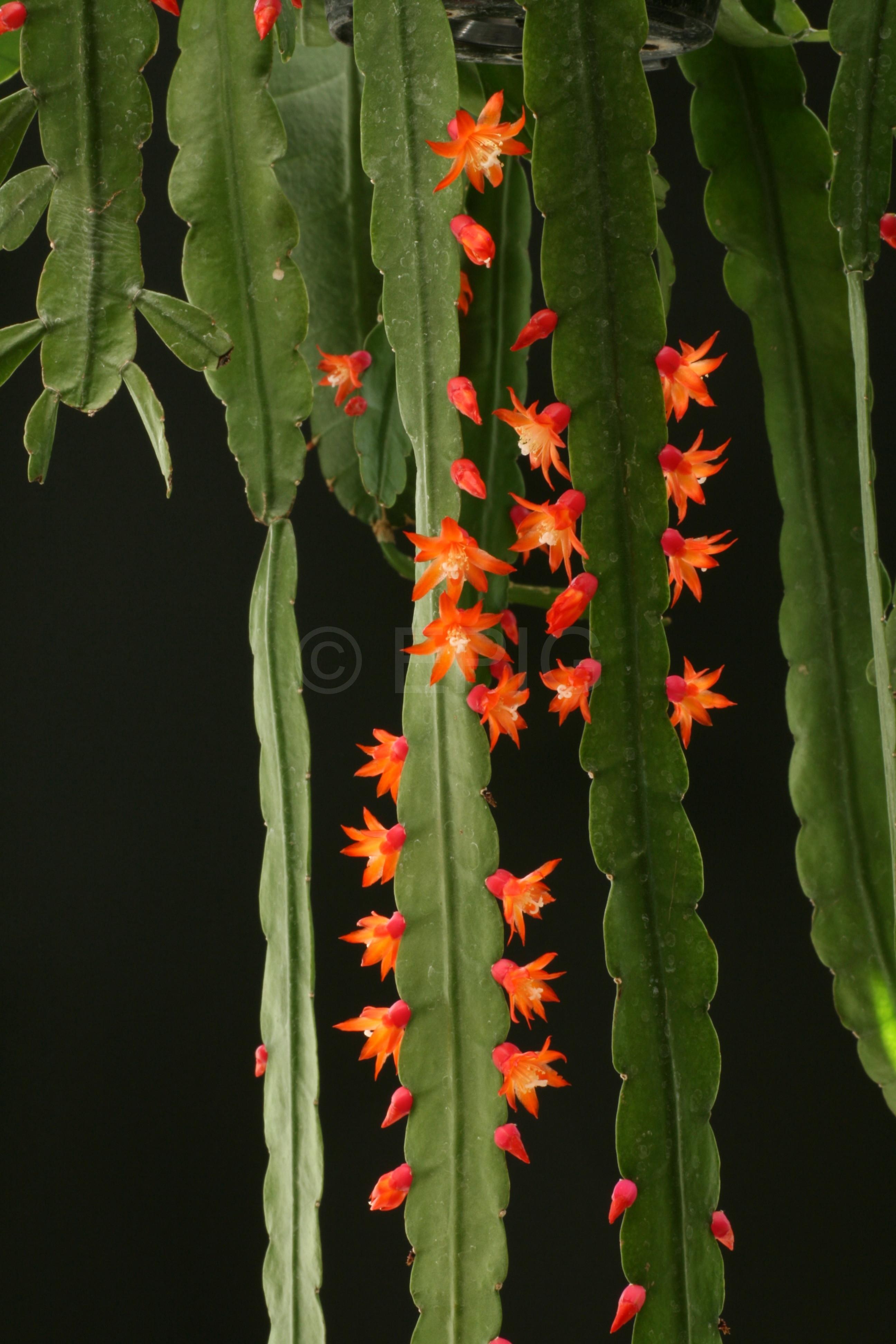Pfeiffera monacantha ssp. kimnachii (Foto Jochen Bockemühl)