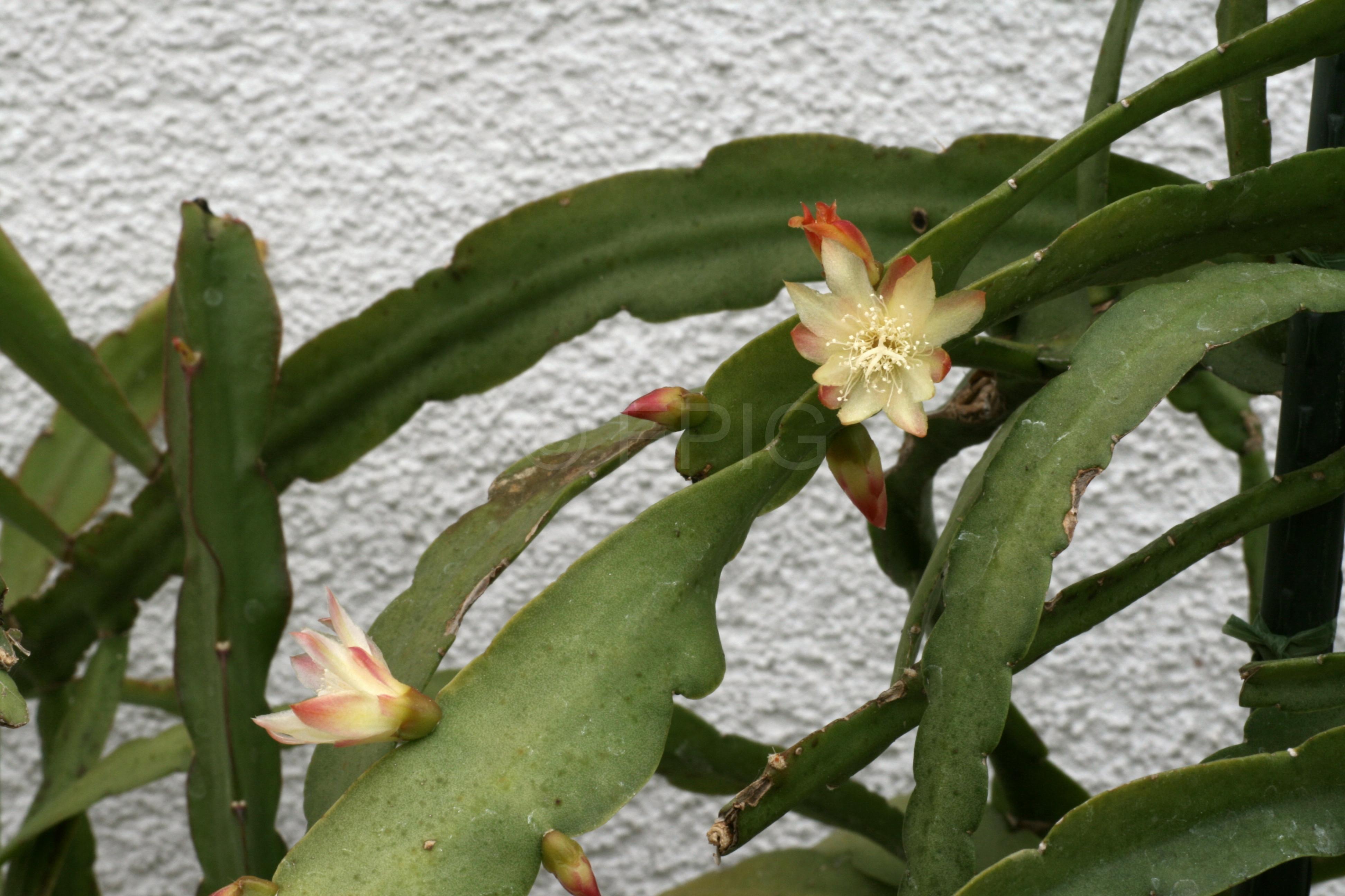 Pfeiffera paranganiensis JB9710 (Foto Jochen Bockemühl)