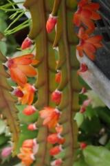 Pfeiffera asuntapatensis (Foto Ruud Tropper)
