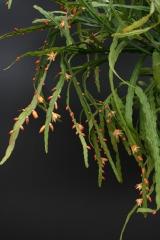 Pfeiffera boliviana HBG52994 (Foto JochenBockemühl)