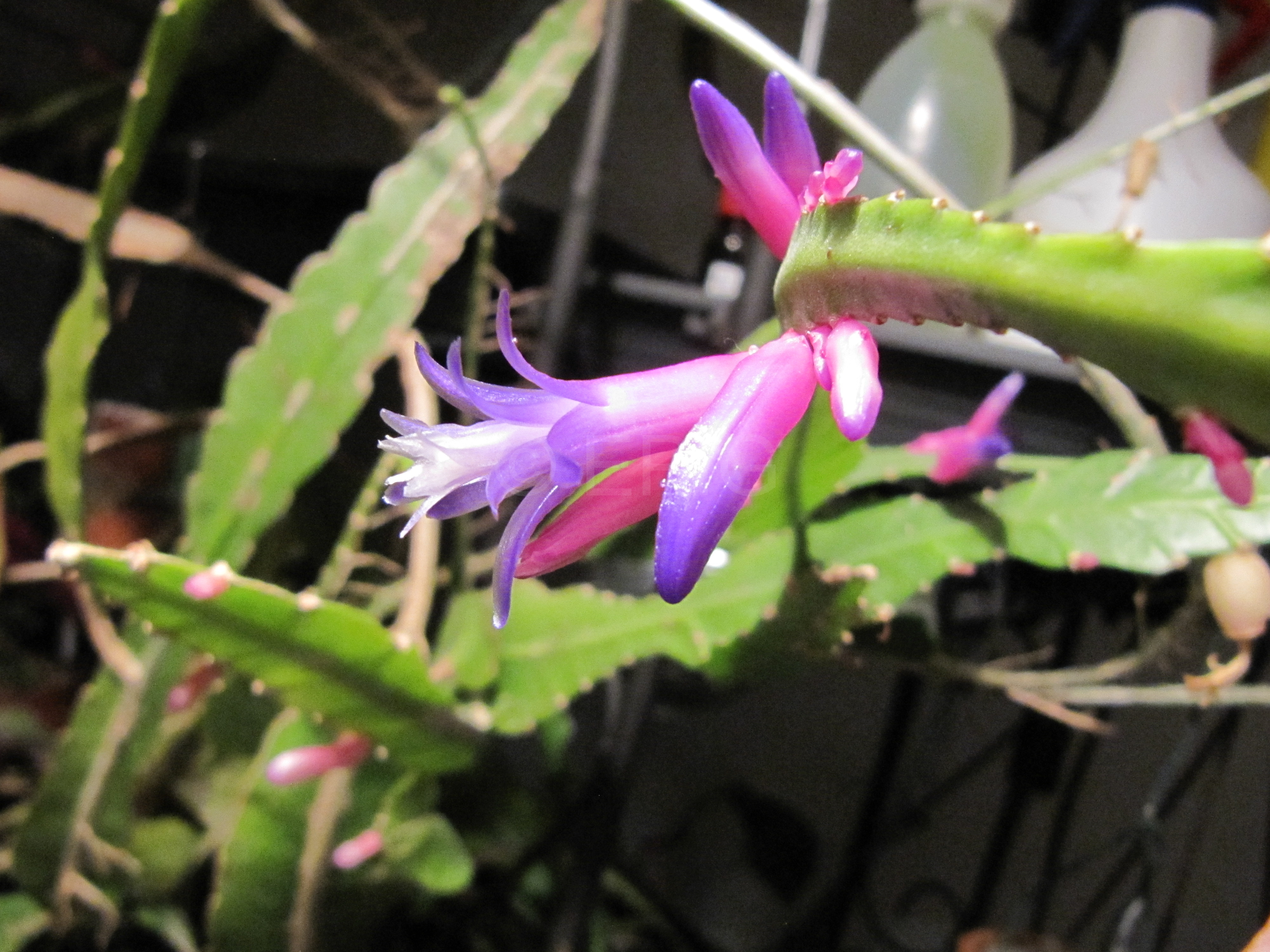 Pseudorhipsalis amazonica ssp. panamensis (Foto Horst Kündiger)