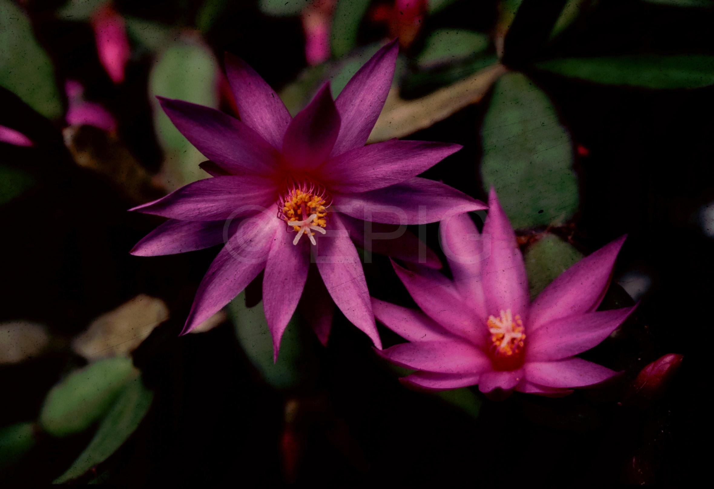 Rhipsalidopsis x graeseri 'Caprice' (Foto Rainbow Gardens)