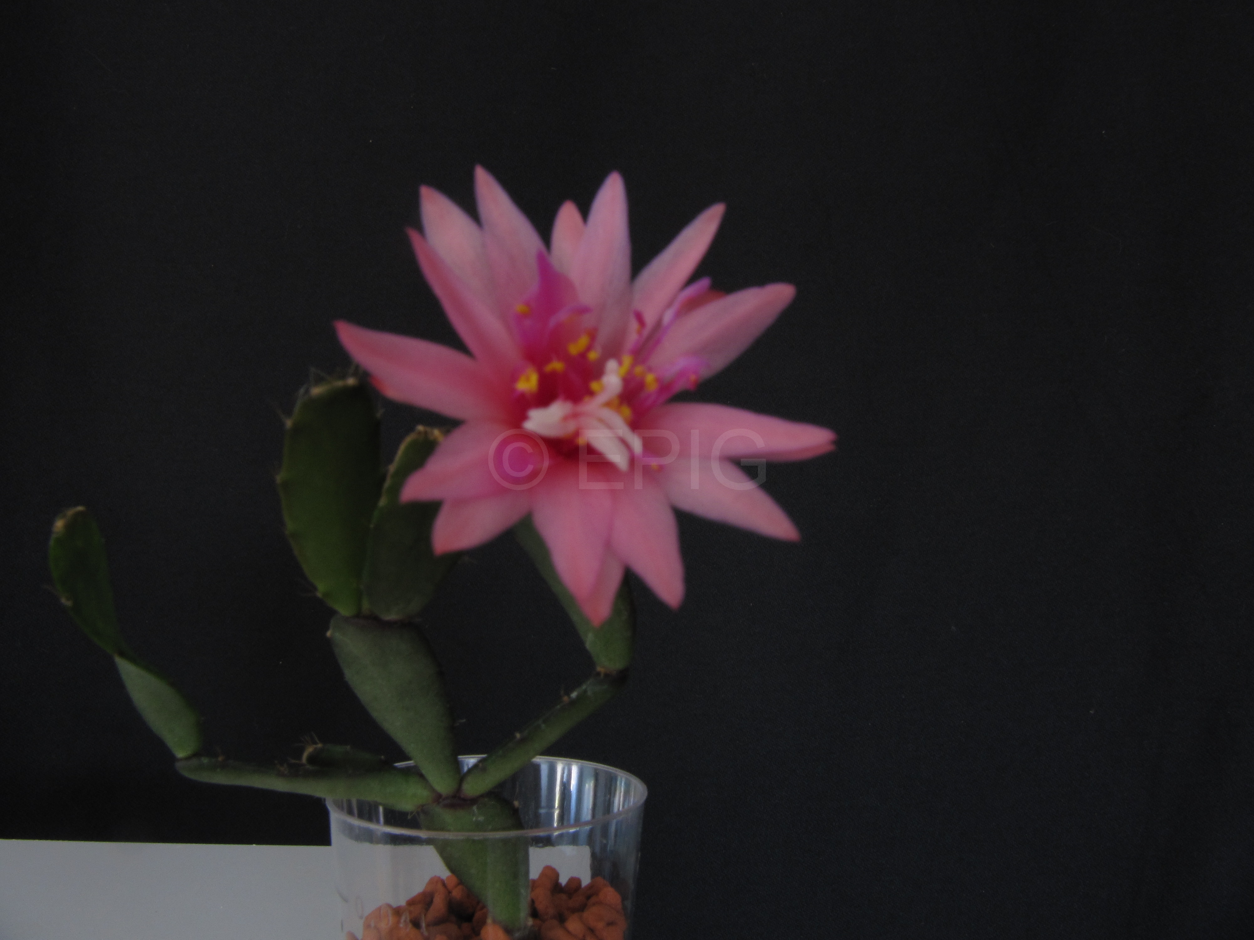 Rhipsalidopsis x graeseri 'Flore Pleno' (Foto Horst Kündiger)