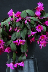 Rhipsalidopsis x graeseri magenta (Foto Jochen Bockemühl)