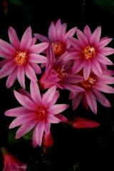 Rhipsalidopsis x graeseri 'Georgette' (Foto Rainbow Gardens)