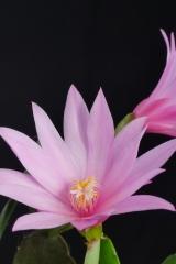 Rhipsalidopsis x graeseri 'gemini' (Foto Ruud Tropper)