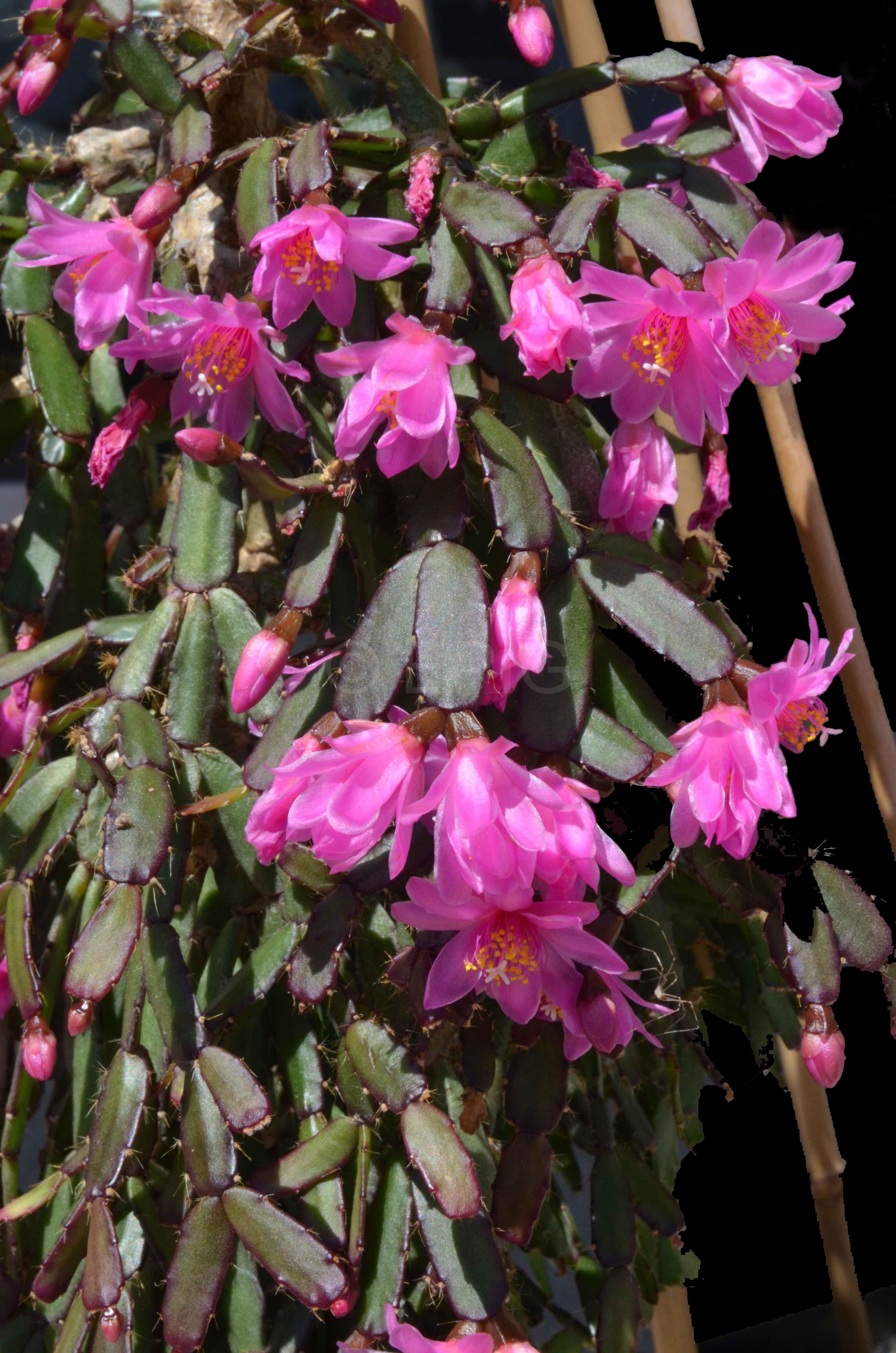 Rhipsalidopsis rosea (Foto Andreas Hofacker)