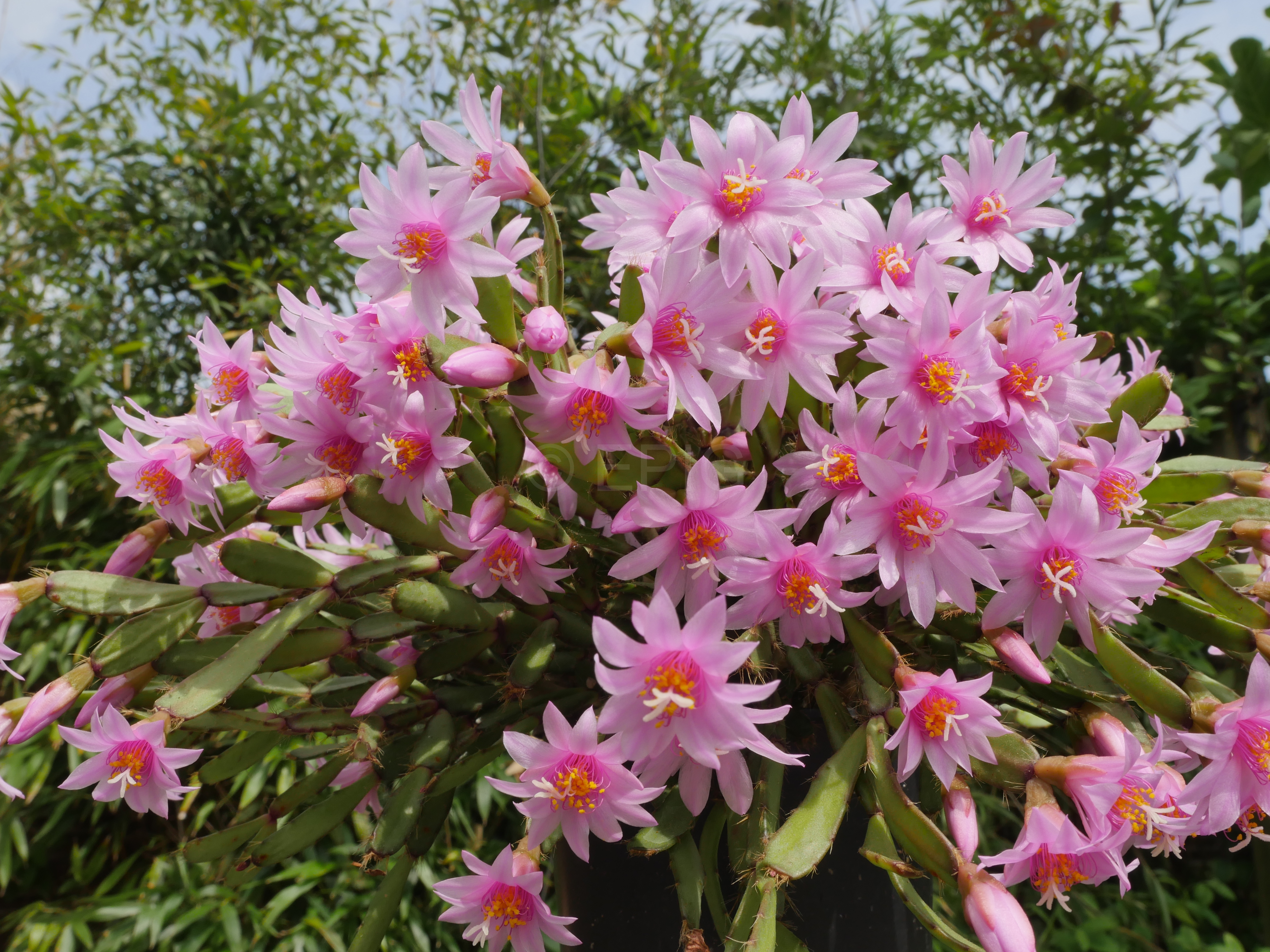 Rhipsalidopsis rosea (Foto Ruud Tropper)