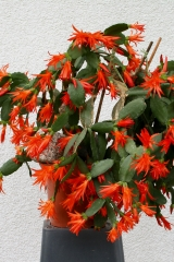 Rhipsalidopsis gaertneri Bonn16396 (Foto Jochen Bockemühl)
