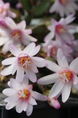 Rhipsalidopsis rosea AH384 Klon 3 (Foto Ruud Tropper)