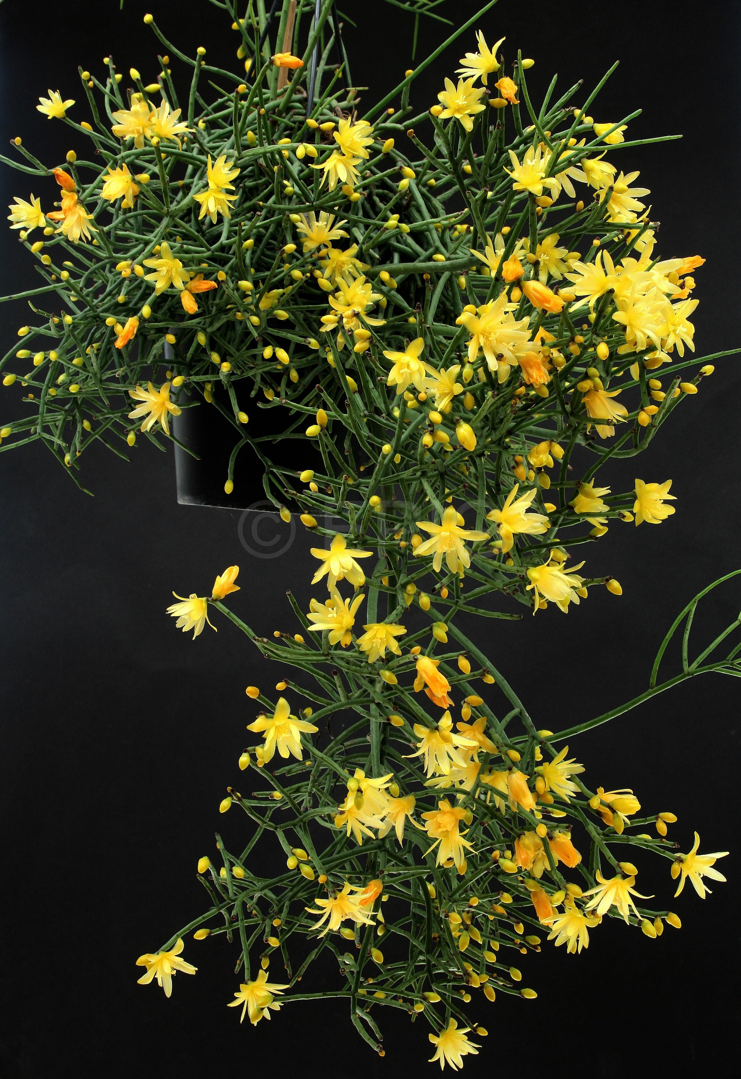 Rhipsalis aurea (ex Sitio Sophrinitis) (Foto Jochen Bockemühl
