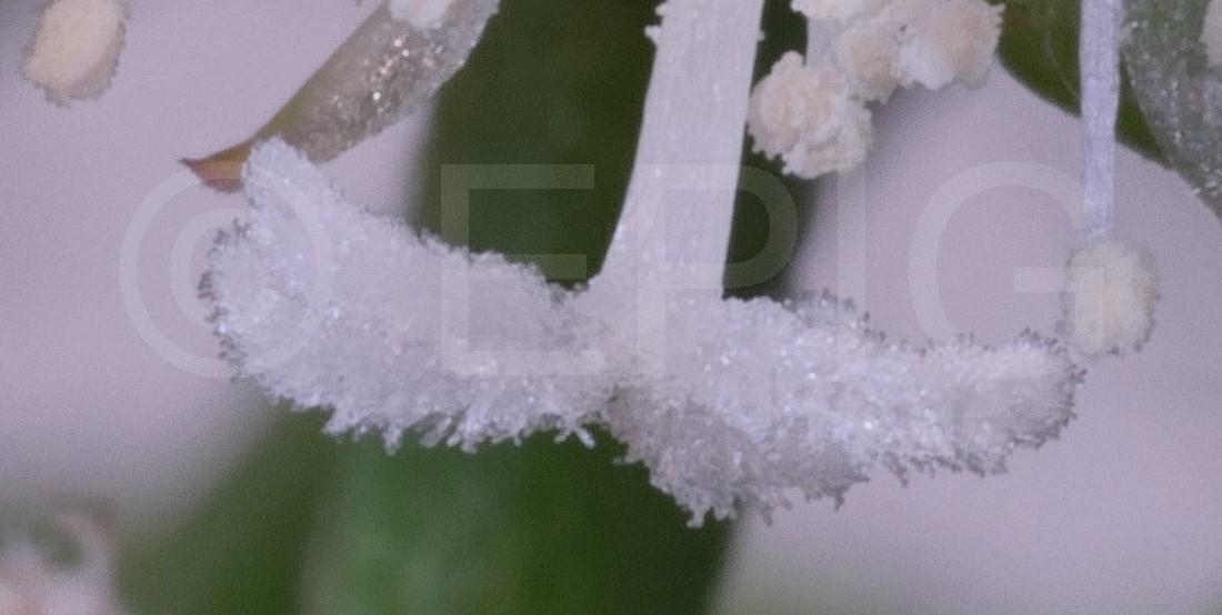 Rhipsalis cereuscula Makroaufnahme (Foto Ruud Tropper)