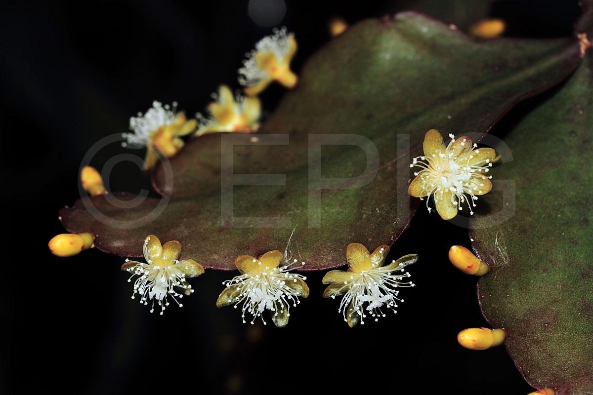 Rhipsalis elliptica (Foto Heiner Düsterhaus)