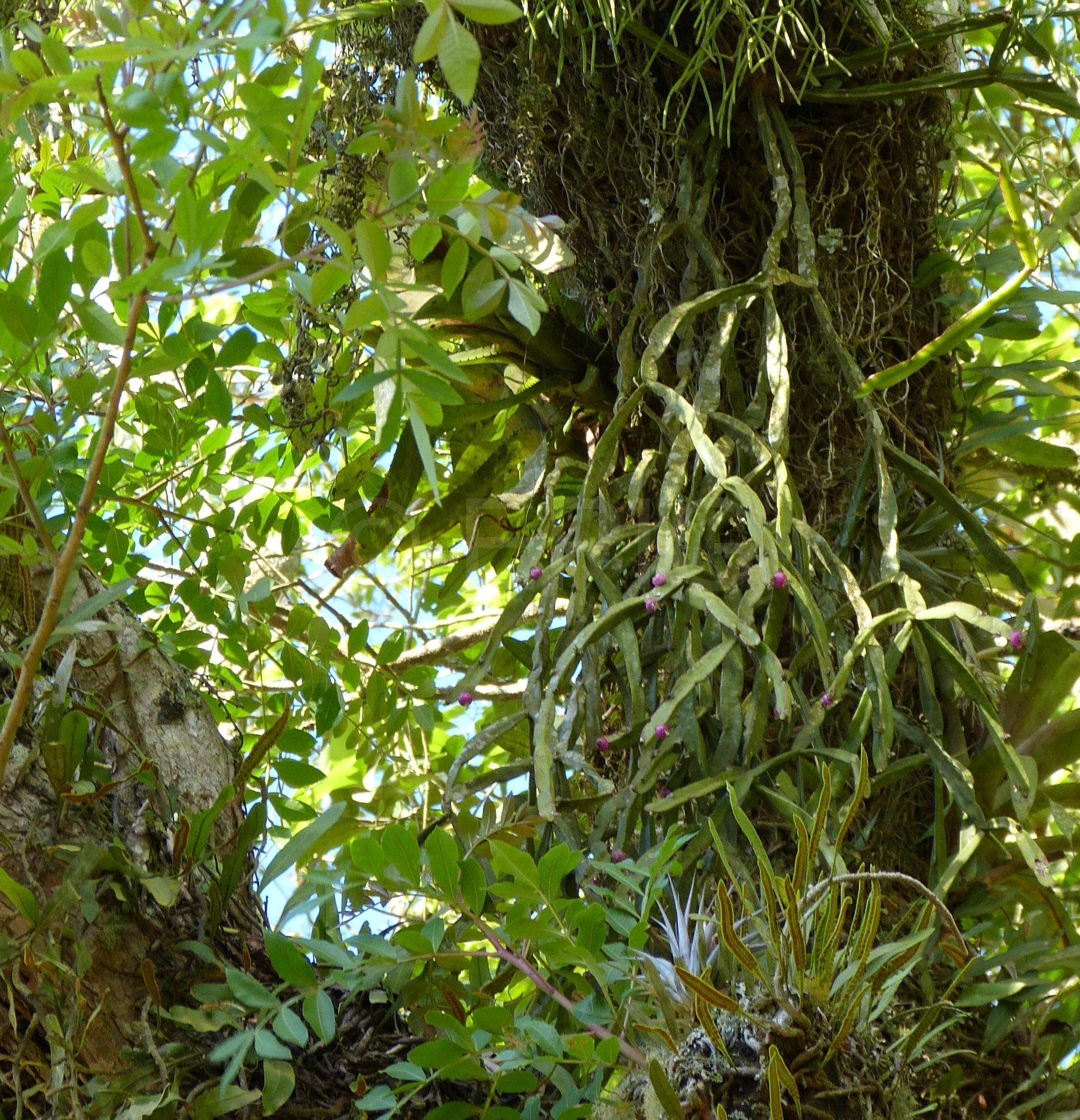 Rhipsalis paradoxa Früchte Campos de Jordao (Foto Ruud Tropper)