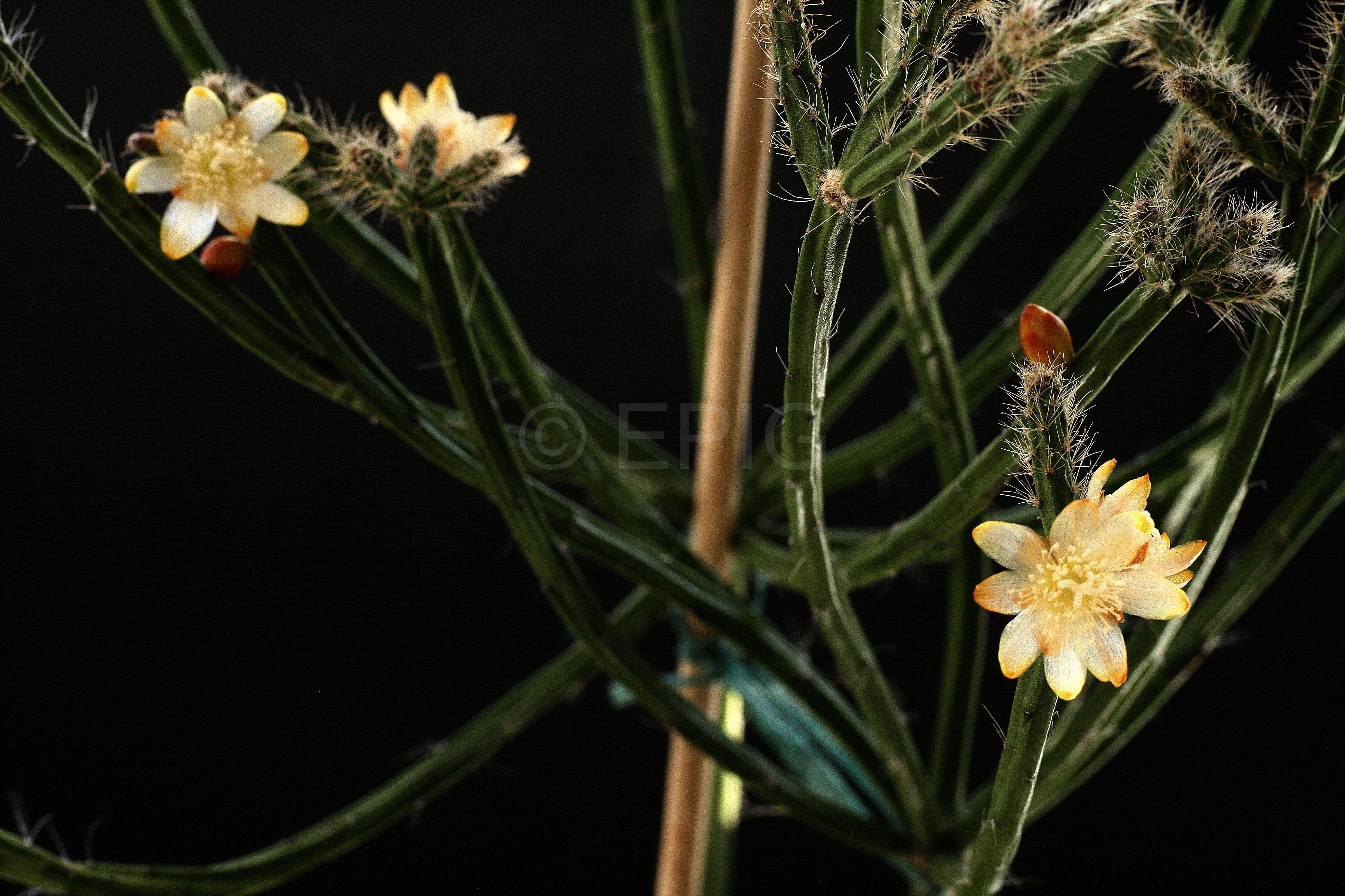 Rhipsalis spinescens (Foto Jochen Bockemühl)