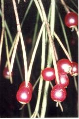 Rhipsalis burchellii Früchte (Foto Rainbow Gardens)