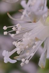 Rhipsalis cereuscula (Foto Ruud Tropper)