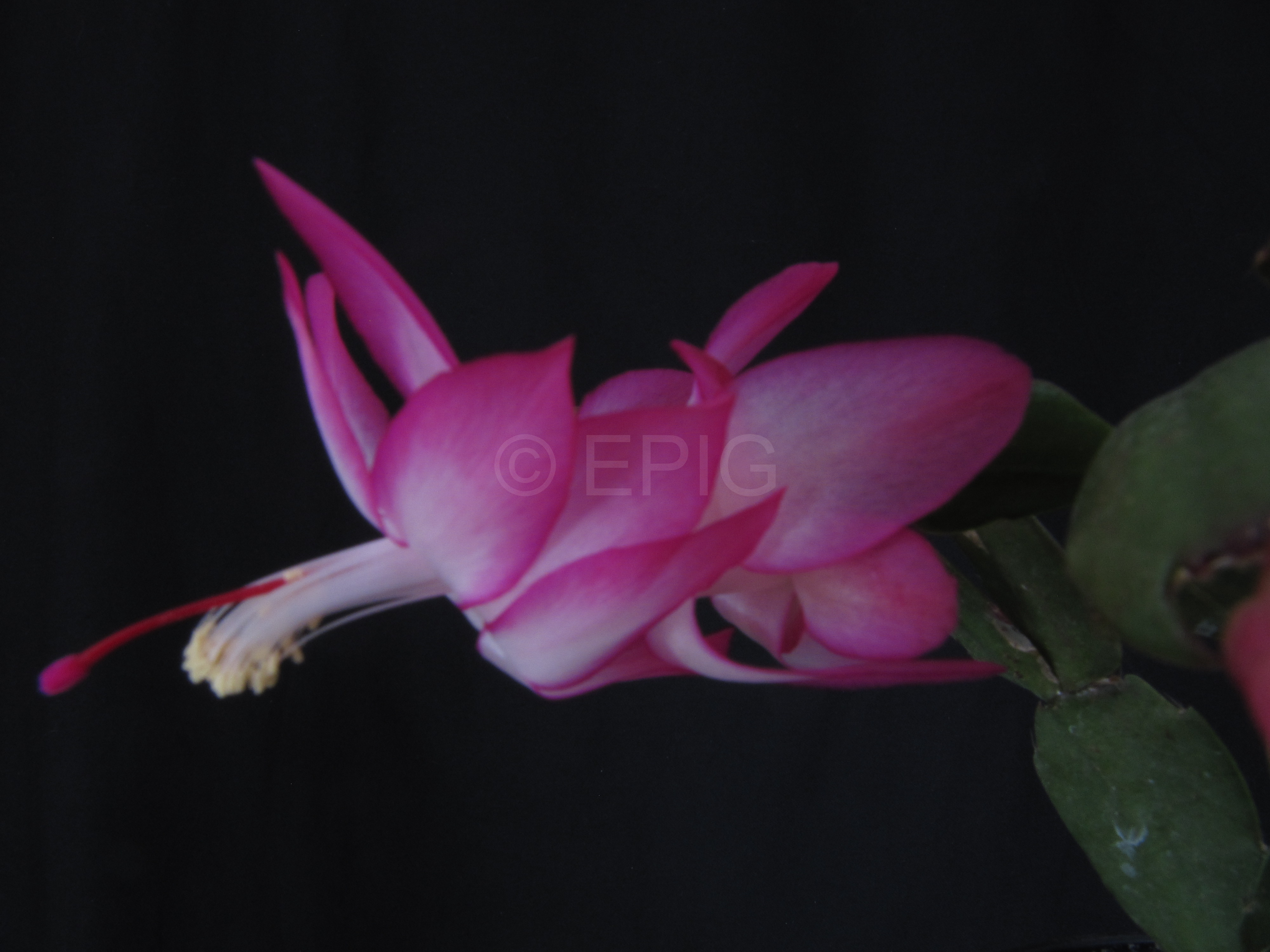Schlumbergera 'Pink Flame' (Foto Horst Kündiger)