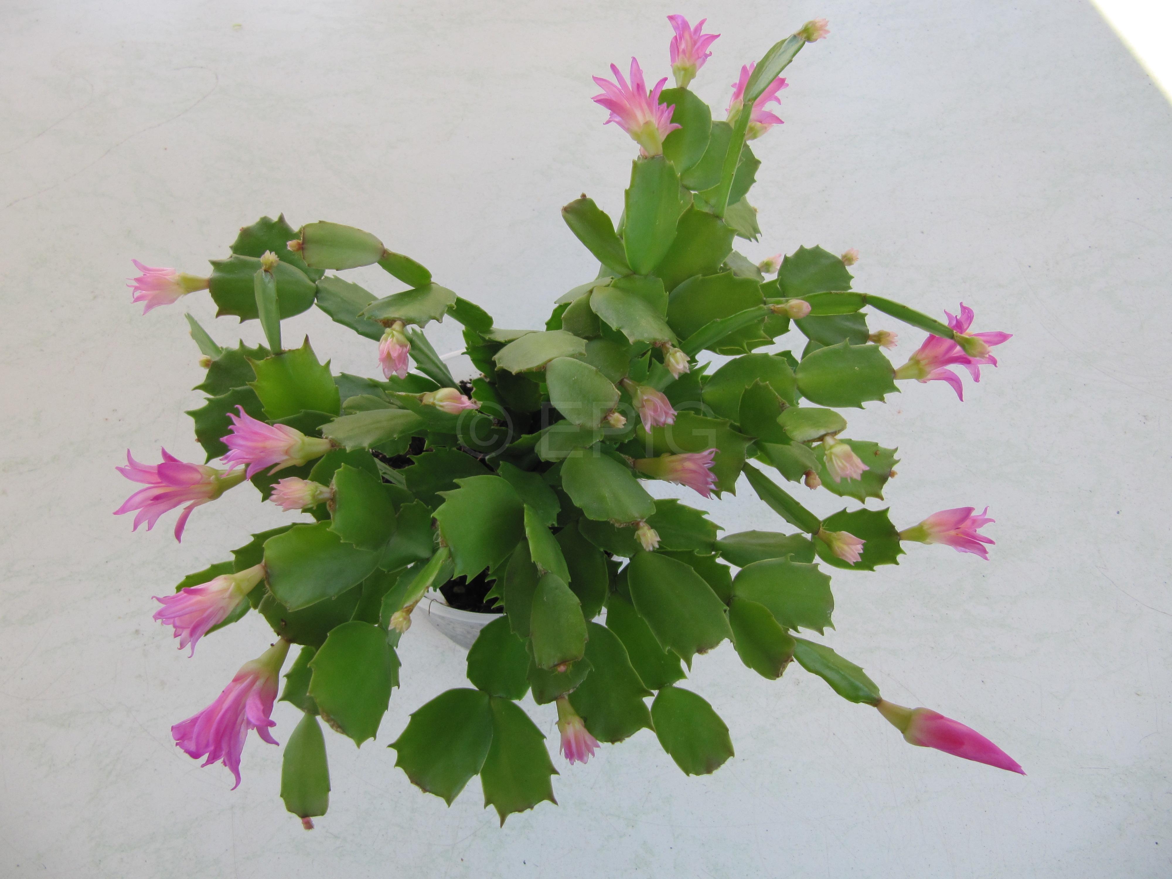 Schlumbergera 'Thor Wild Cactus' (Foto Horst Kündiger)