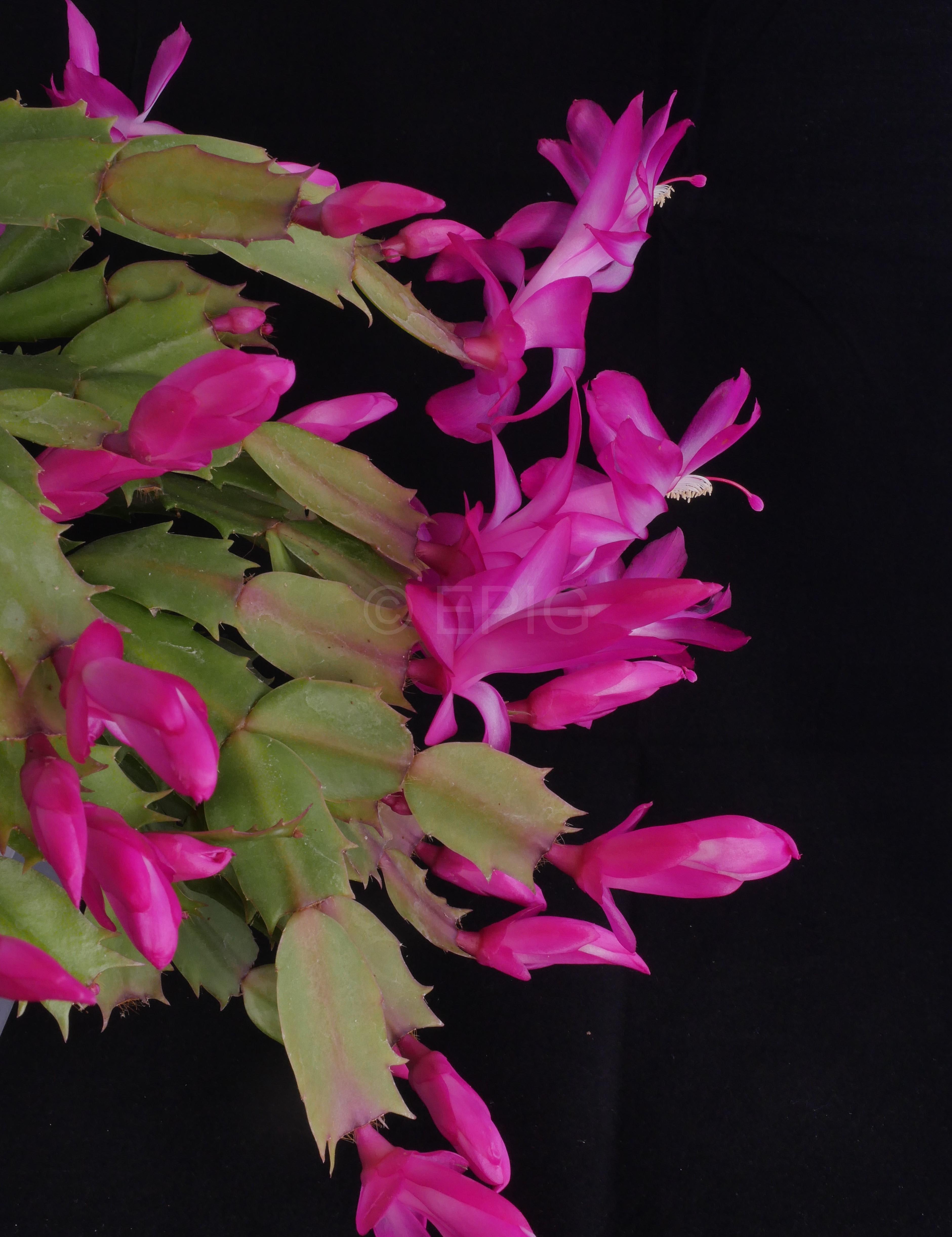 Schlumbergera x reginae 'Bristol Queen' (Foto Ruud Tropper)