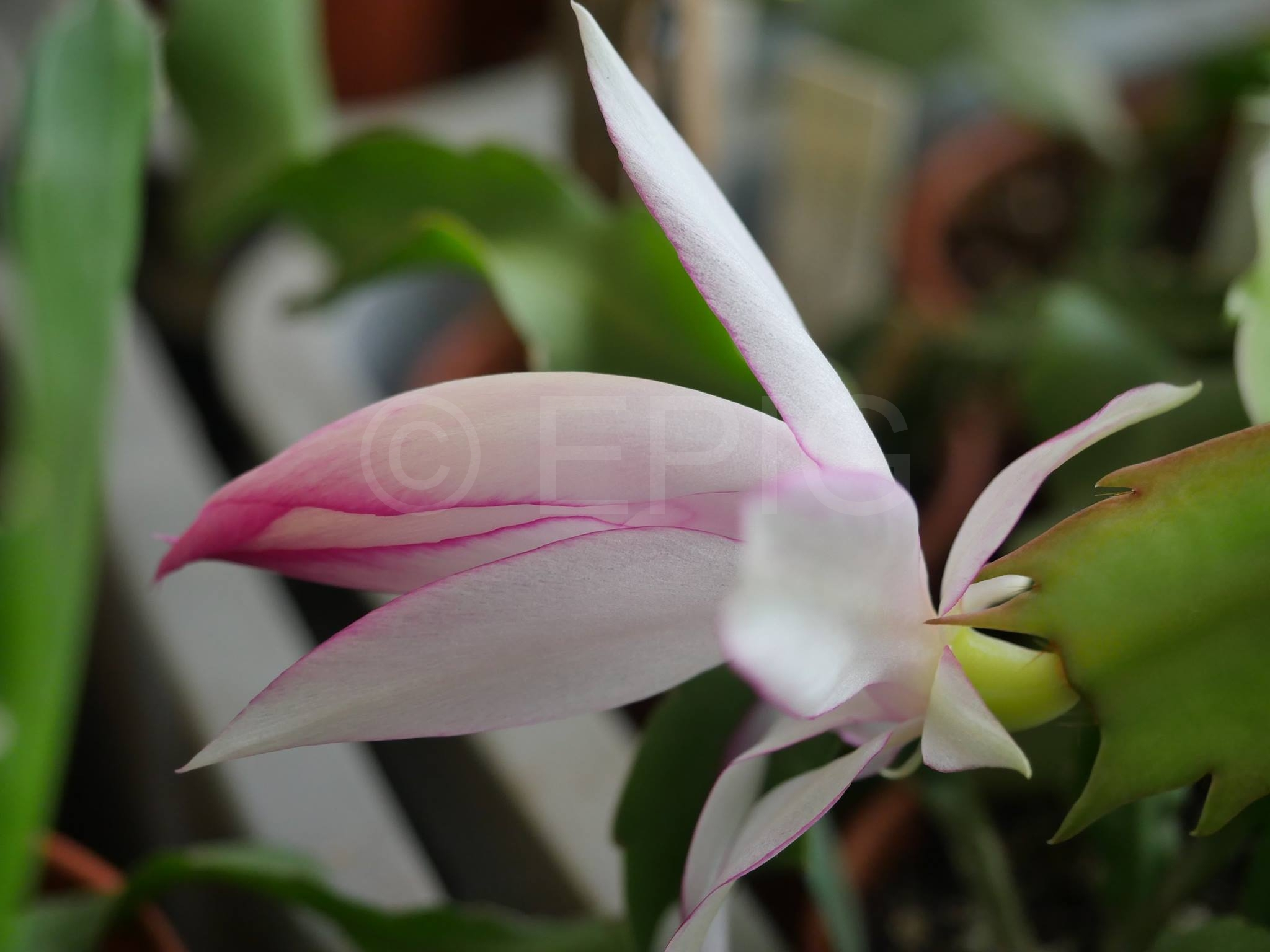 Schlumbergera x reginae 'Crown Sovereign' (Foto Ruud Tropper)