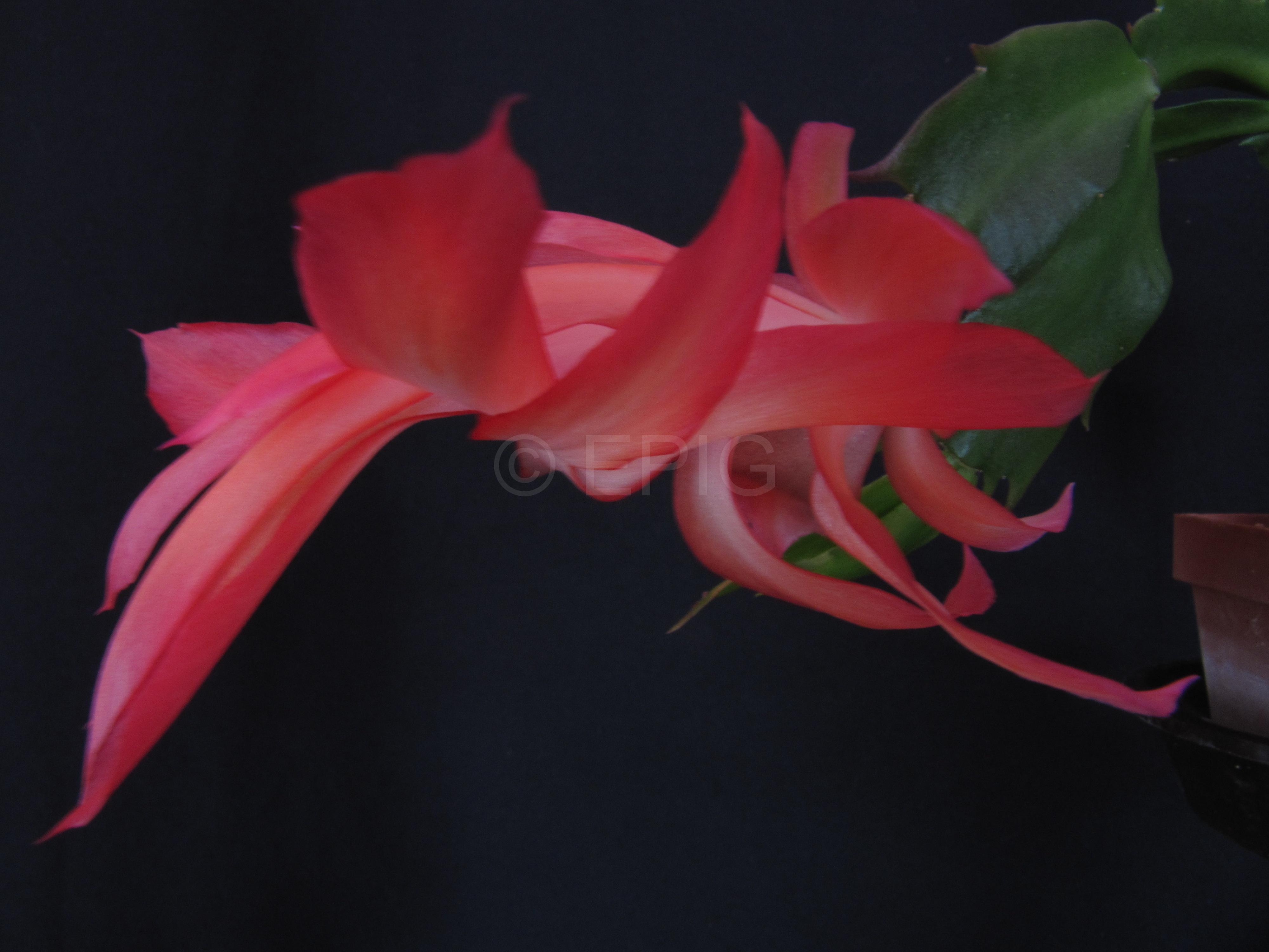 Schlumbergera x reginae 'Hunter' (Foto Horst Kündiger)