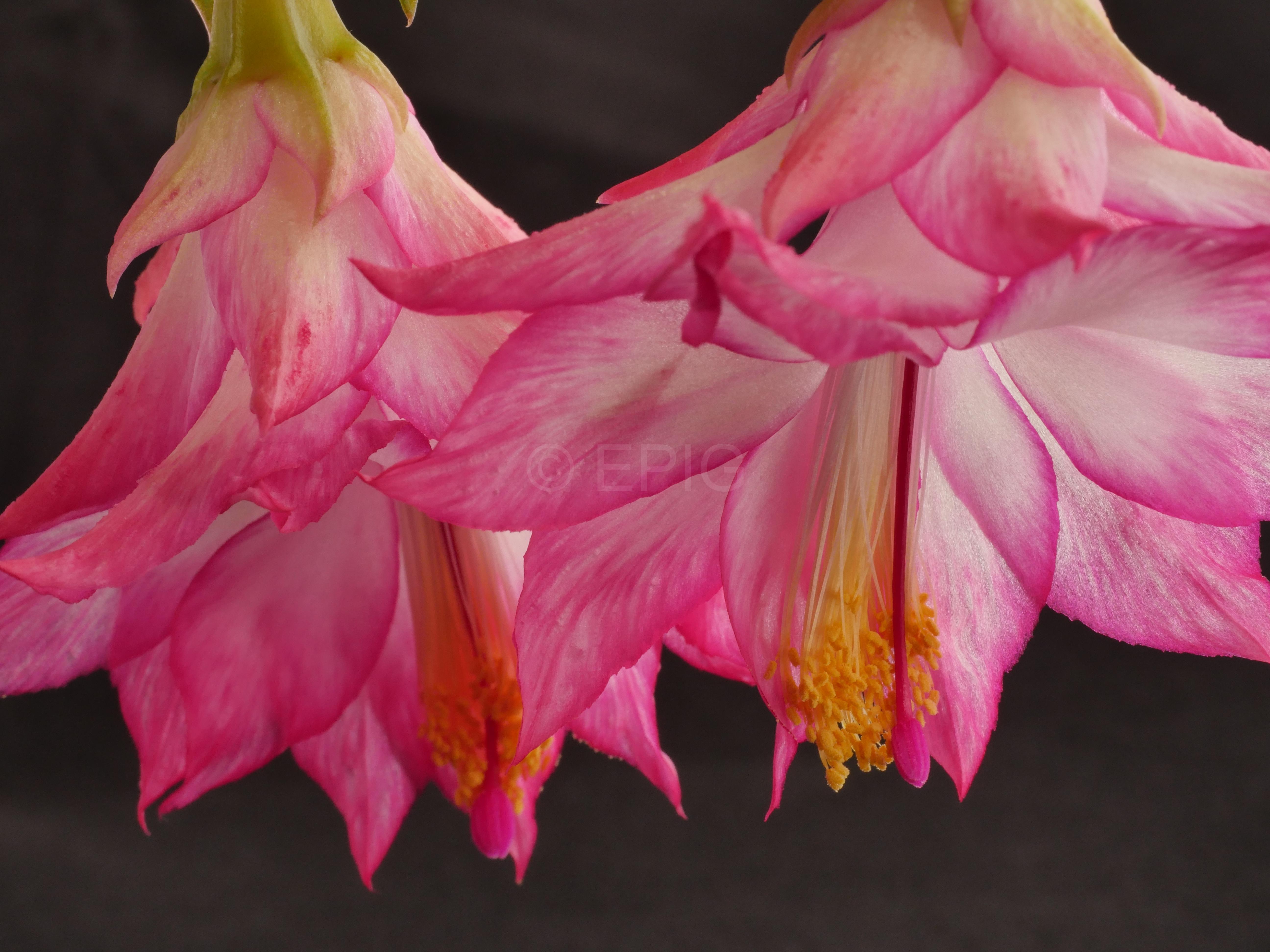 Schlumbergera x reginae PG03 (Foto Ruud Tropper)