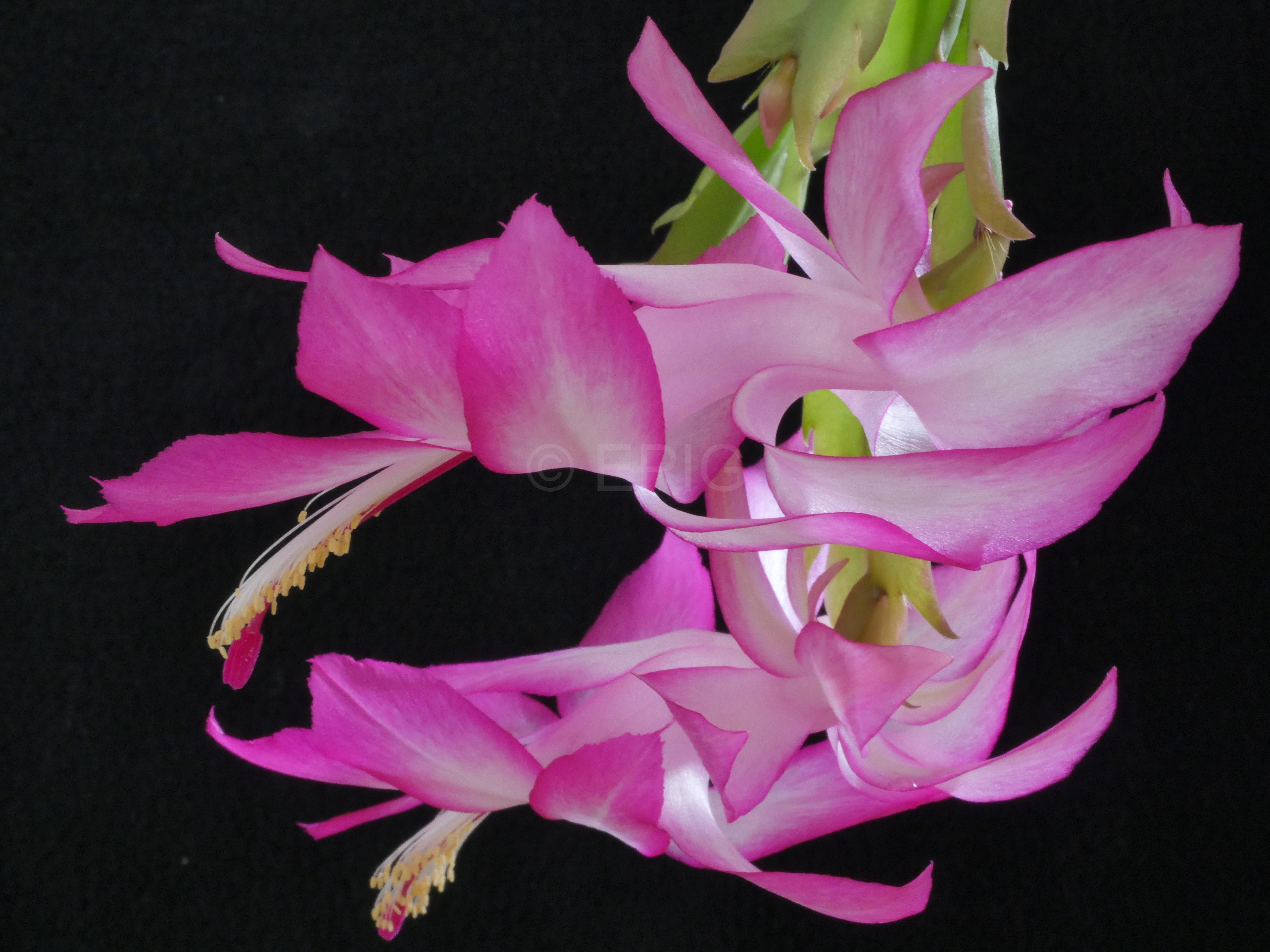 Schlumbergera x reginae PG05 'Pink Regent' (Foto Ruud Tropper)
