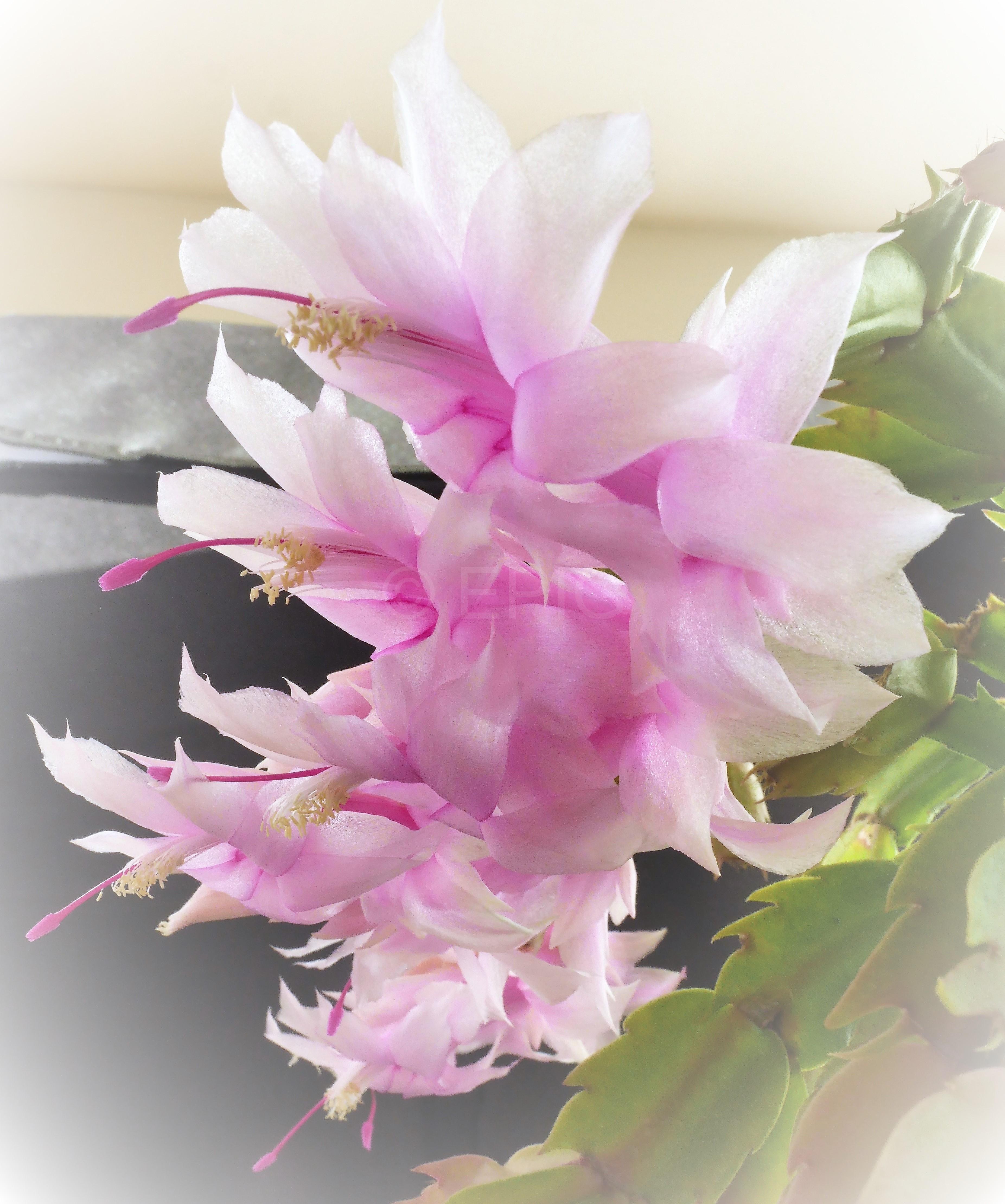 Schlumbergera x reginae 'Swan Lake' (Foto Ruud Tropper)