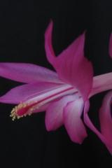Schlumbergera 'Beheim Pink' (S. kauskyi x S. orssichiana) (Foto Horst Kündiger)