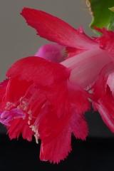 Schlumbergera 'Red Aspen' (Foto Ruud Tropper)