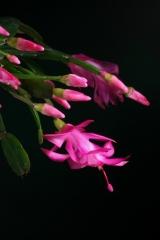 Schlumbergera x buckleyi 'Kolibri' (Foto Jochen Bockemühl)