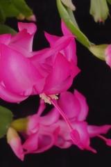 Schlumbergera x buckleyi 'Kolibri' (Foto Ruud Tropper)