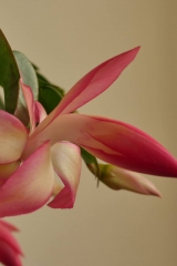 Schlumbergera x reginae 'Frony' (Foto Ruud Tropper)