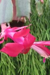 Schlumbergera x reginae 'Mac' (Foto Horst Kündiger)