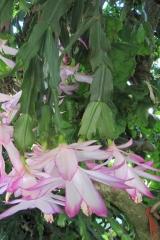 Schlumbergera x reginae 'Madame Butterfly' (Foto Horst Kündiger)