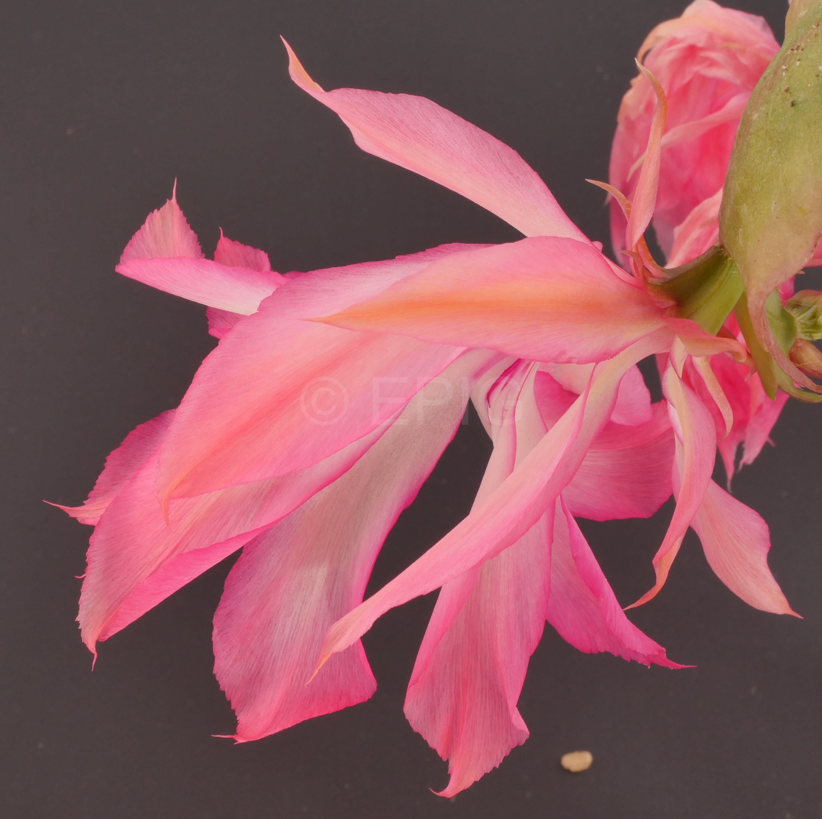 Schlumbergera orssichiana K2 (Foto Ruud Tropper)