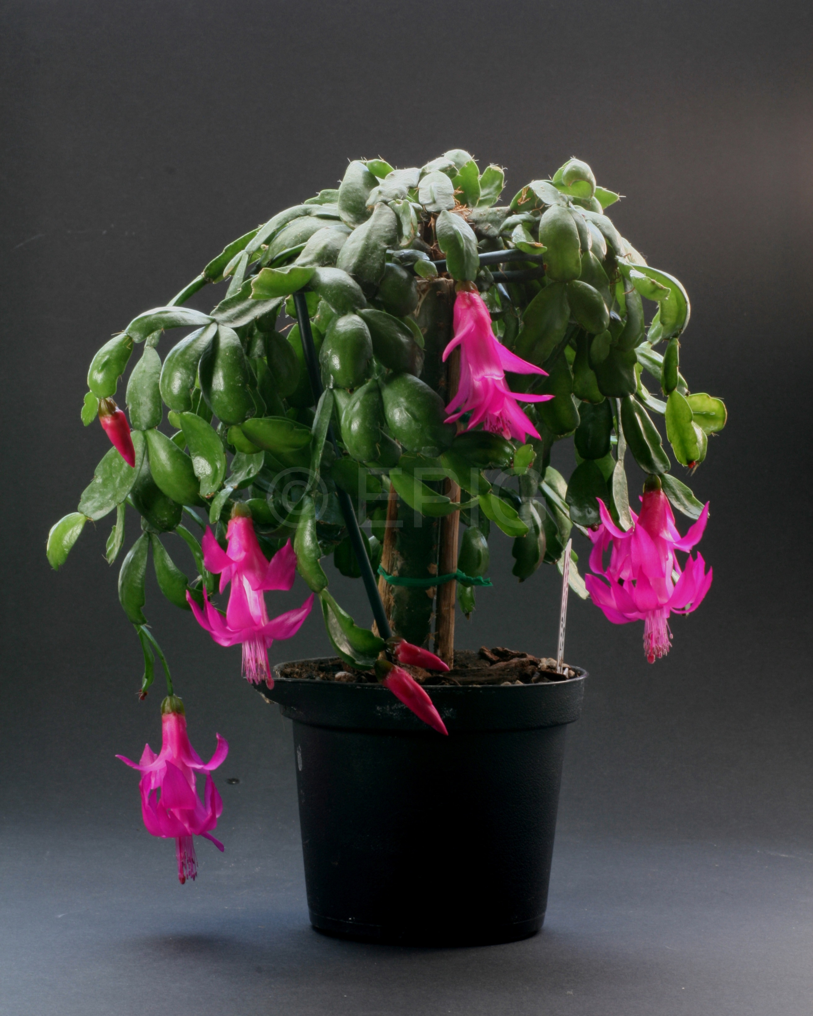 Schlumbergera russelliana '1839 Introduction' (Foto Jochen Bockemühl)