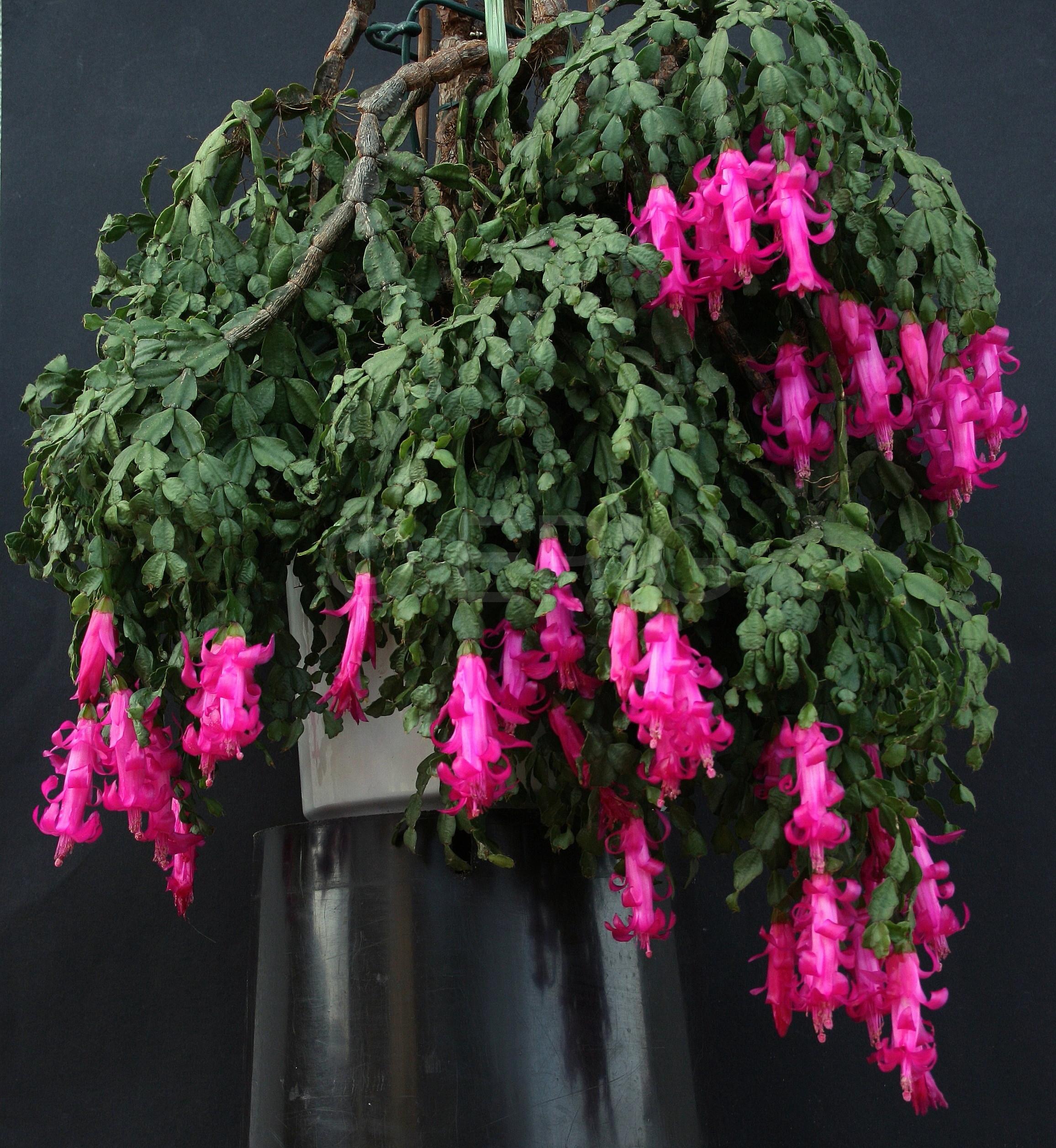 Schlumbergera russelliana 'Ashfield' (Foto Jochen Bockemühl)