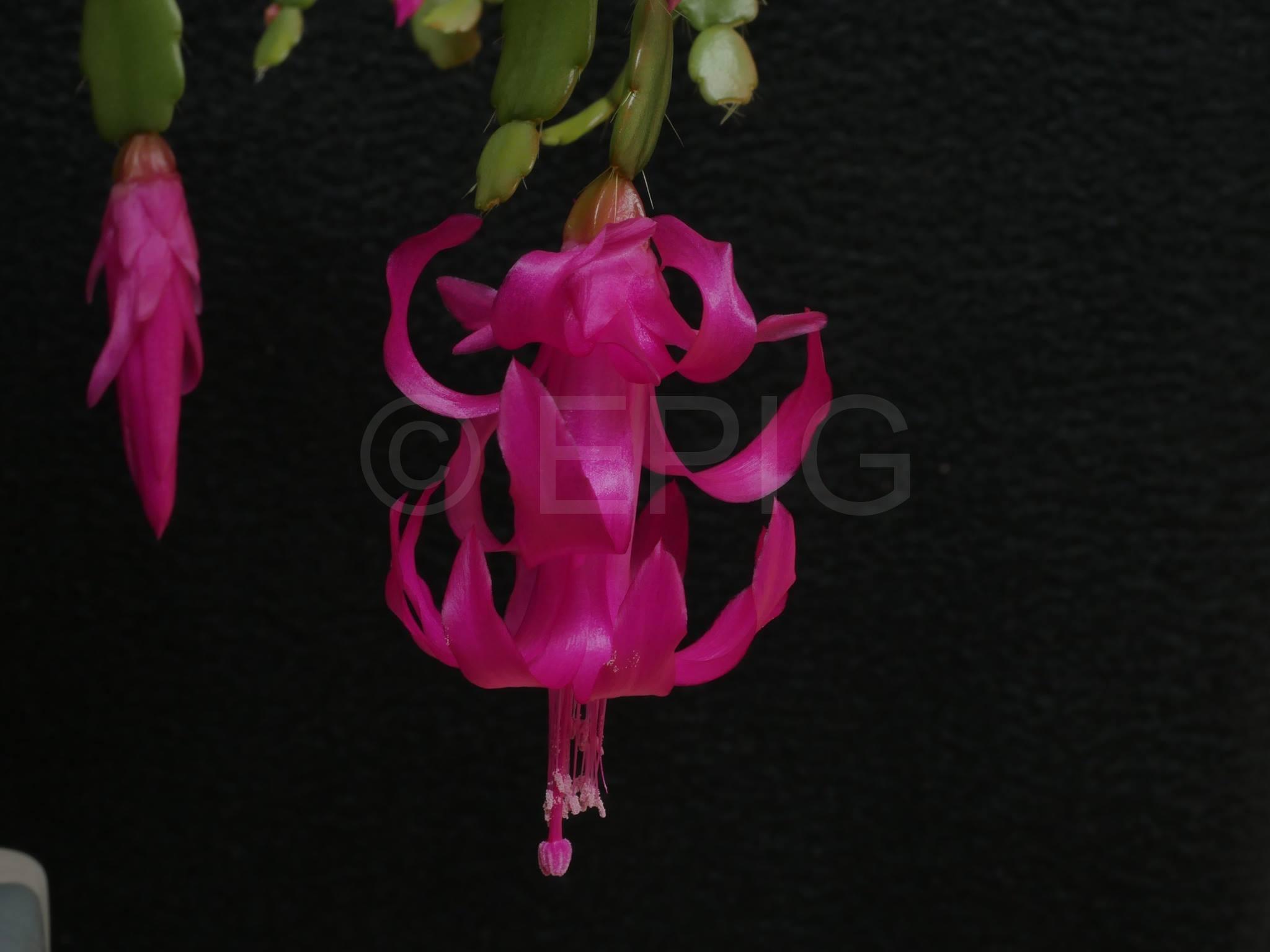 Schlumbergera russelliana (Foto Ruud Tropper)