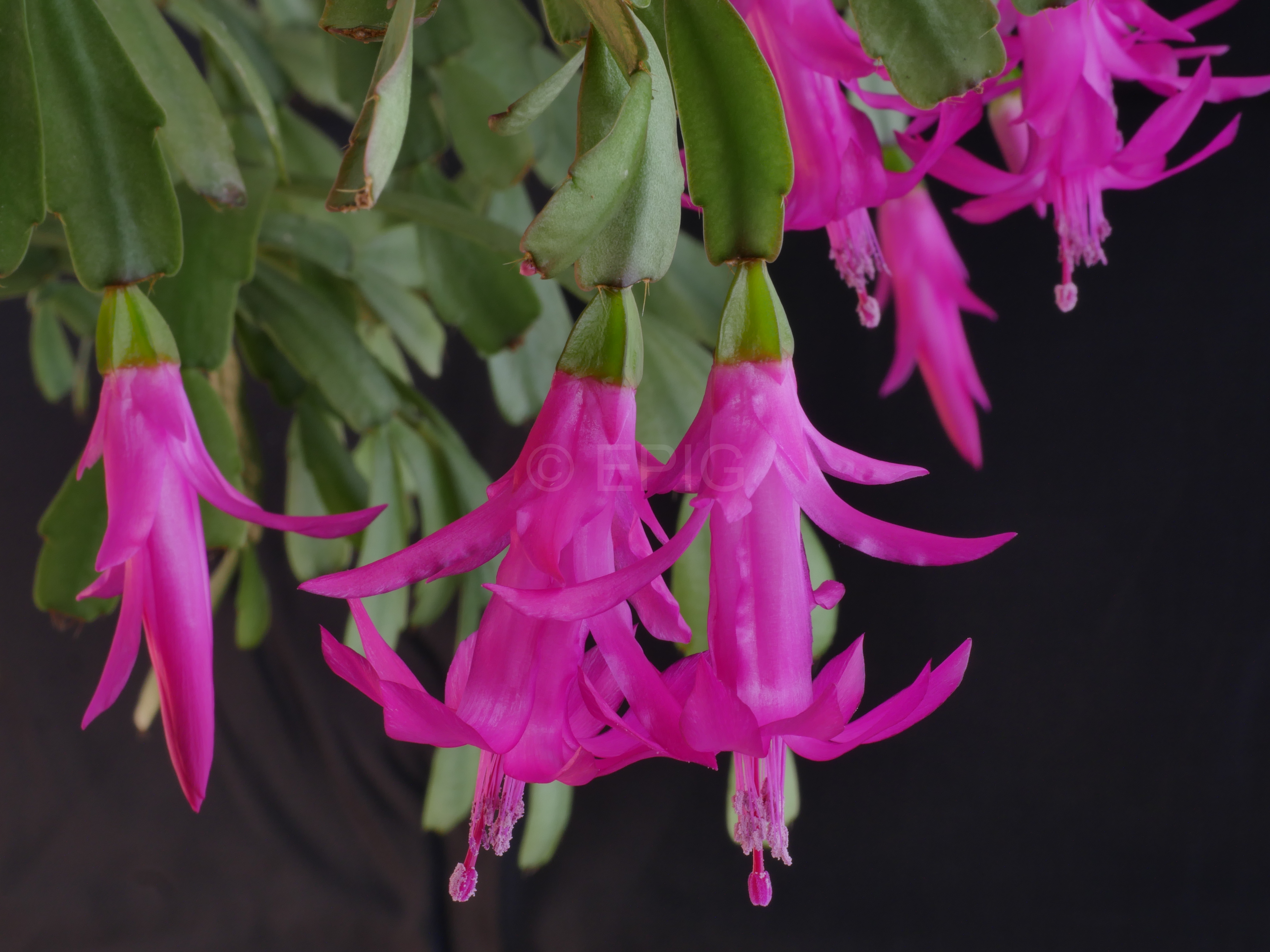 Schlumbergera russelliana 'South of Nova Friburga' (Foto Ruud Tropper)
