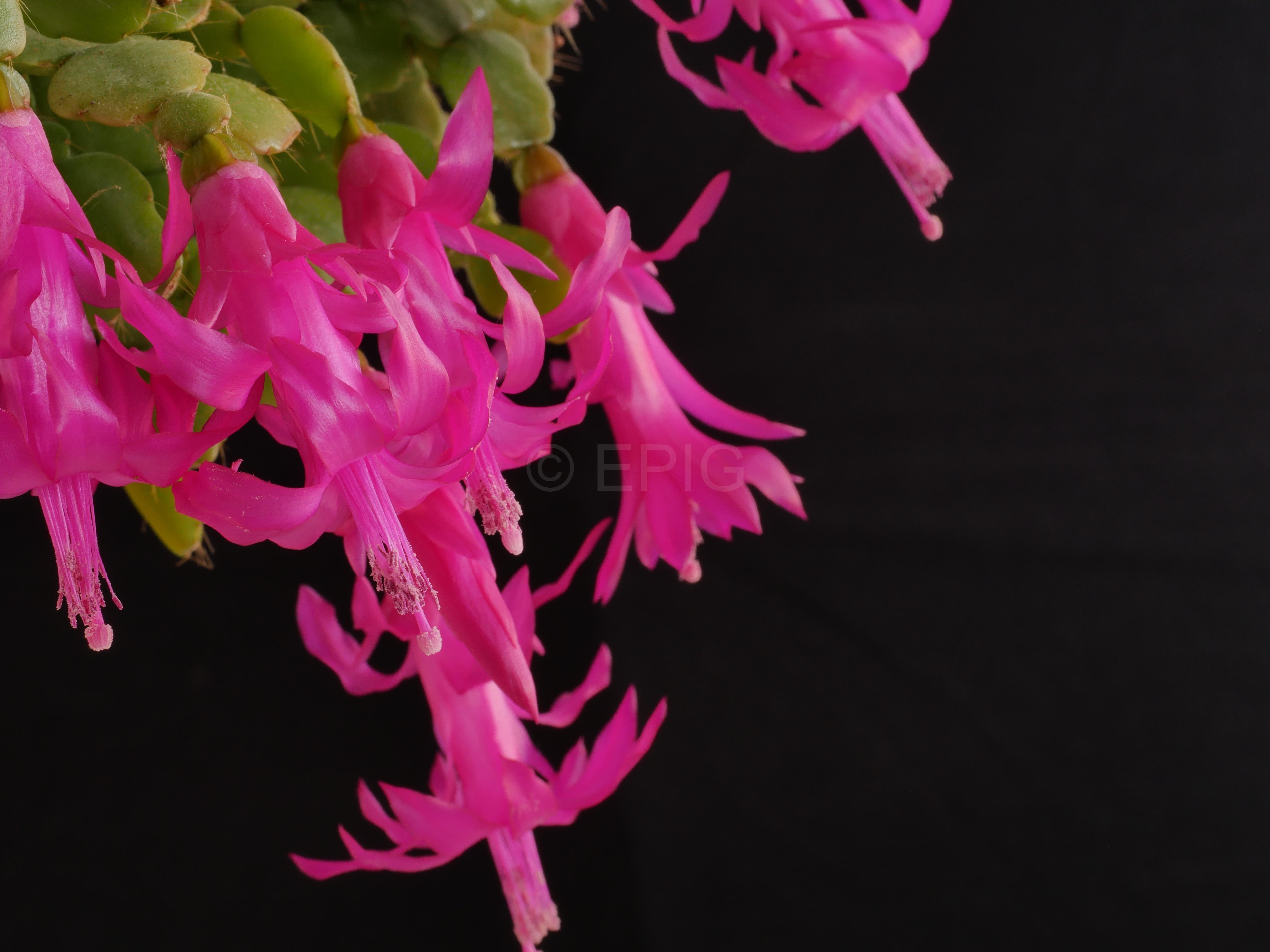 Schlumbergera russelliana Typ Ehlers (Foto Ruud Tropper)