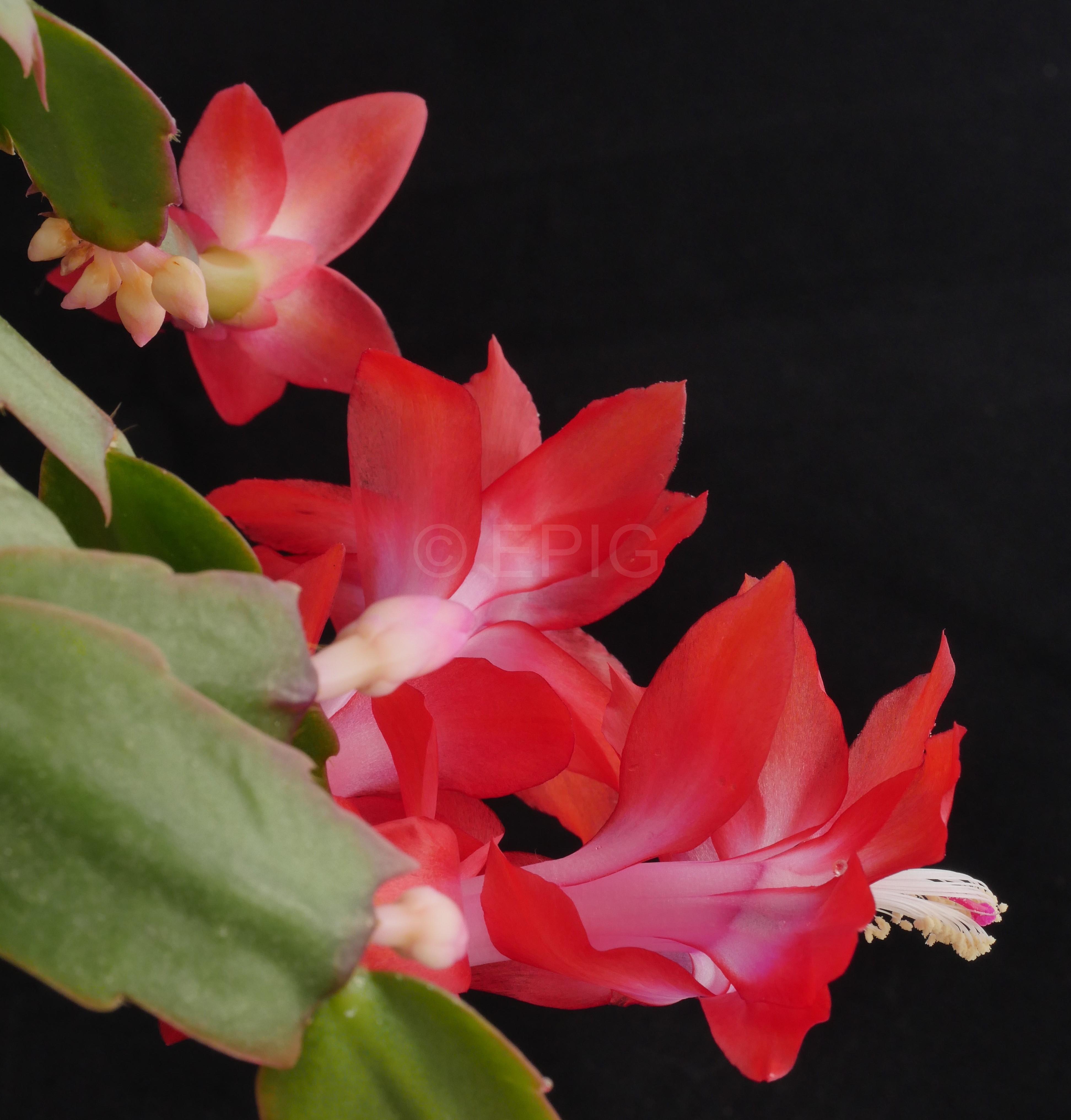 Schlumbergera truncata AH570 (Foto Ruud Tropper)