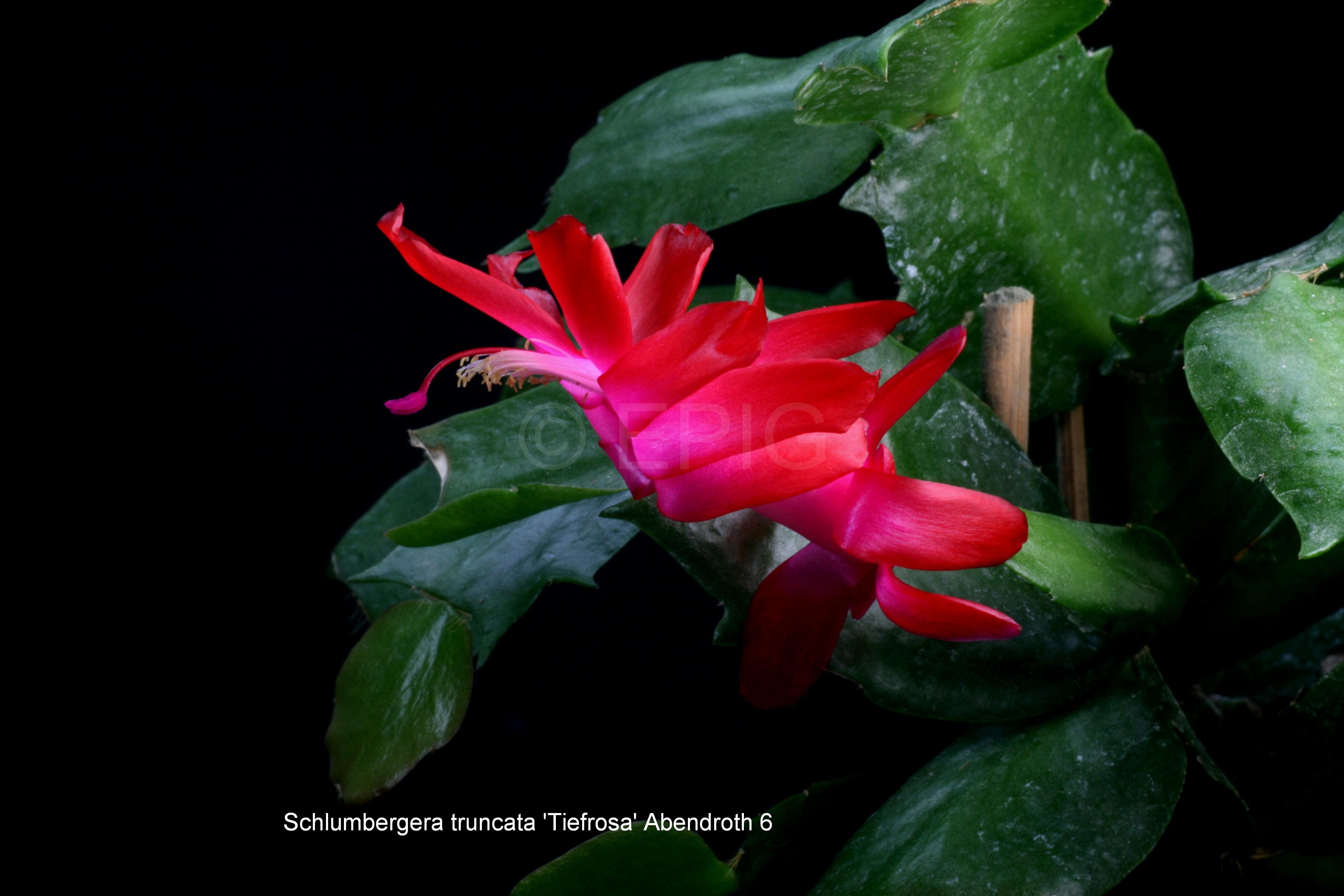 Schlumbergera truncata 'tiefrosa' Abendroth 6 (Foto Jochen Bockemühl)