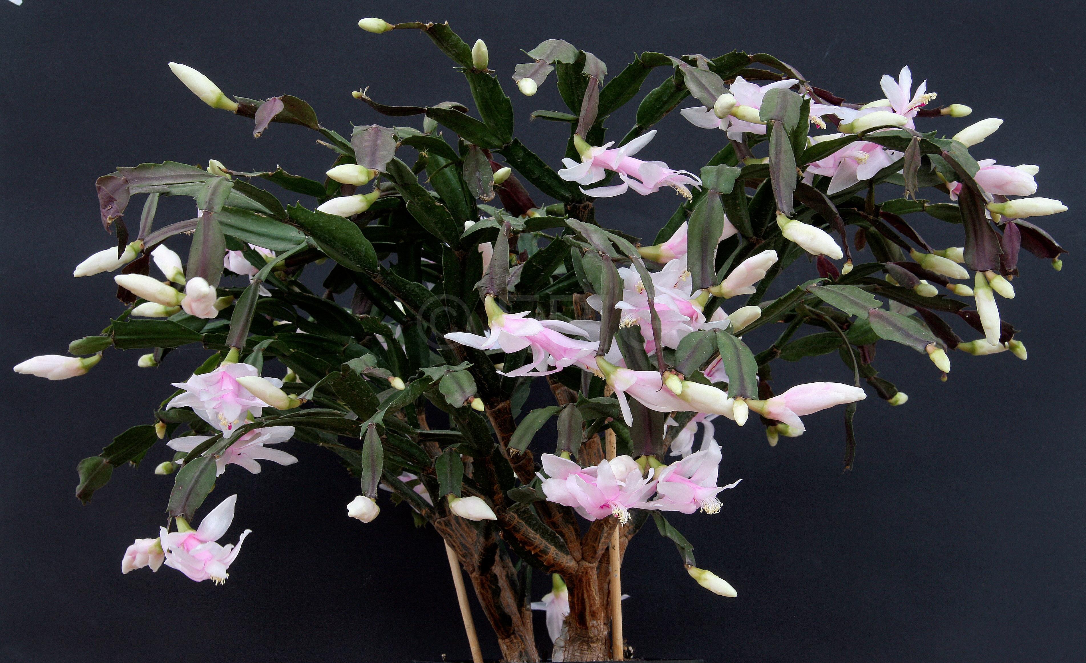 Schlumbergera truncata var. delicata (Foto Jochen Bockemühl)