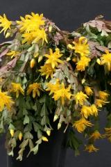 Schlumbergera lutea ssp. lutea (Foto Jochen Bockemühl)